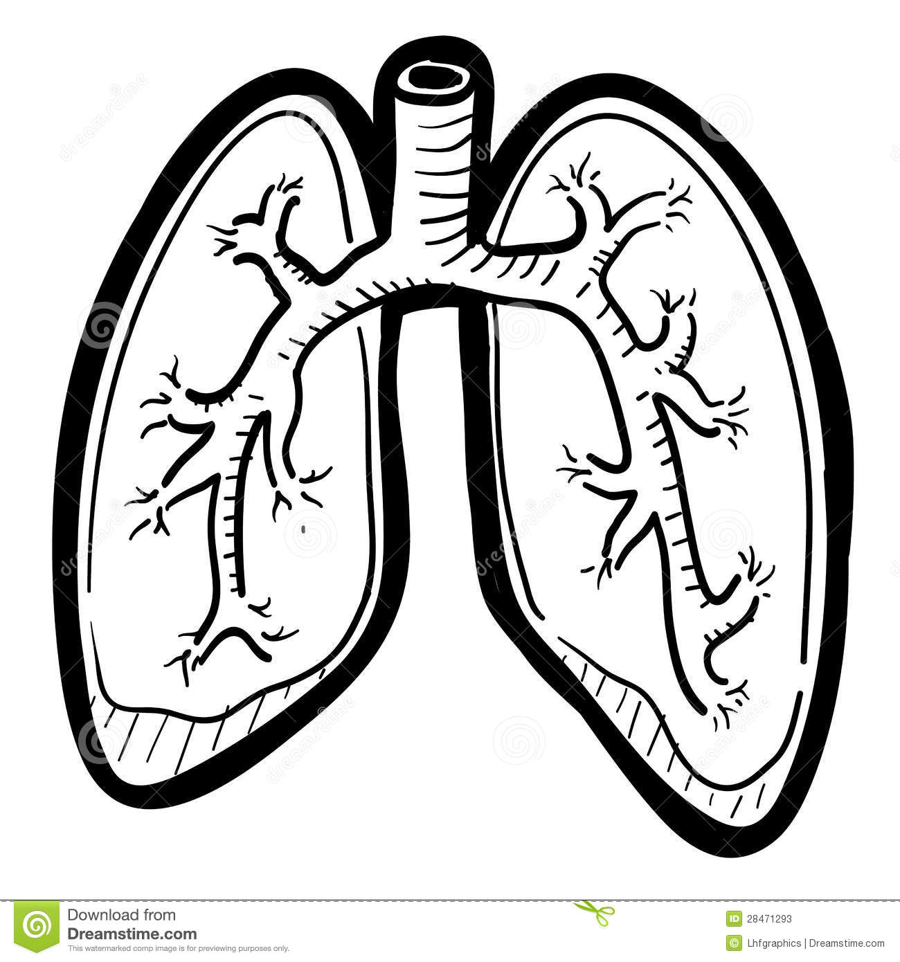 Human Lungs Sketch Stock Vector Illustration Of Body