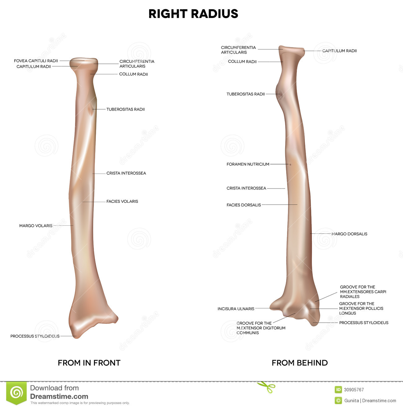 Human Right Radius Bone Stock Vector Illustration Of