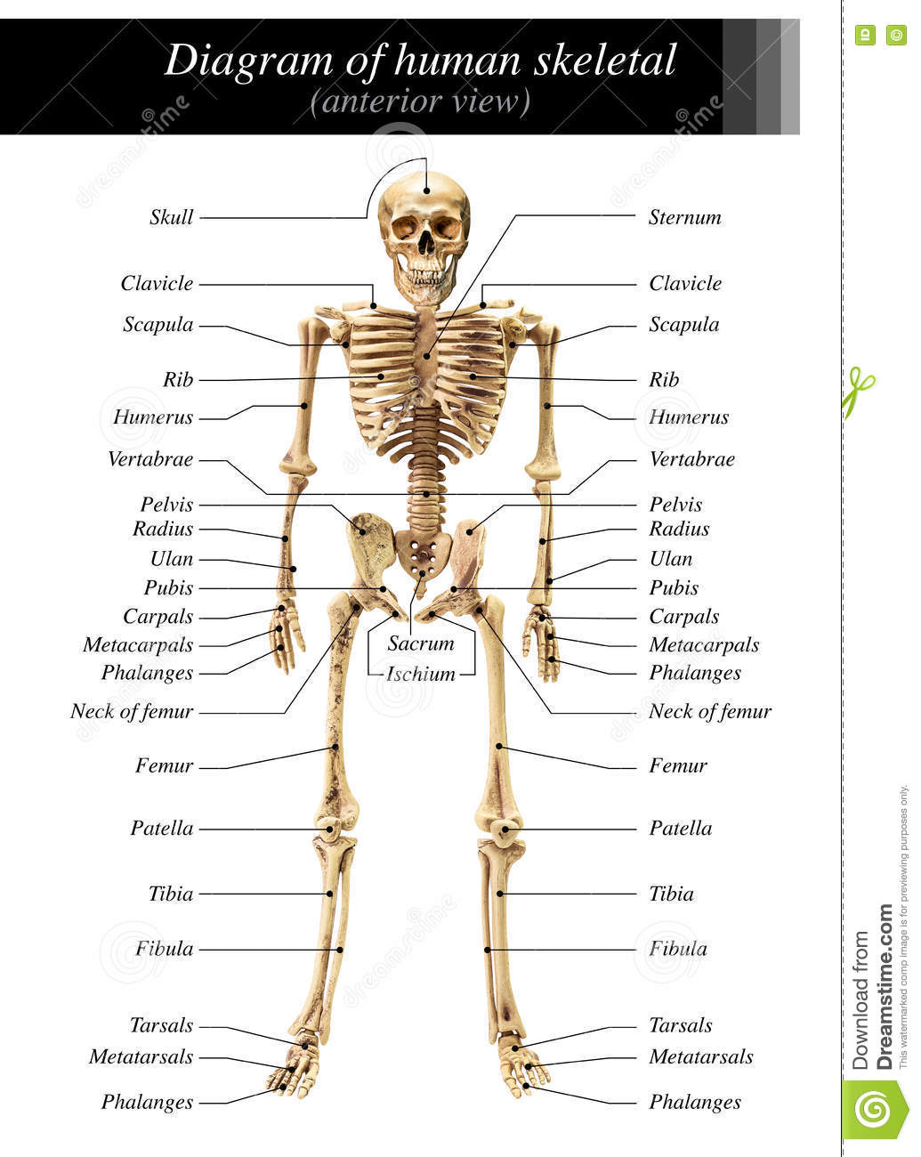 Human Skeleton Diagram Stock Image Image Of Humerus