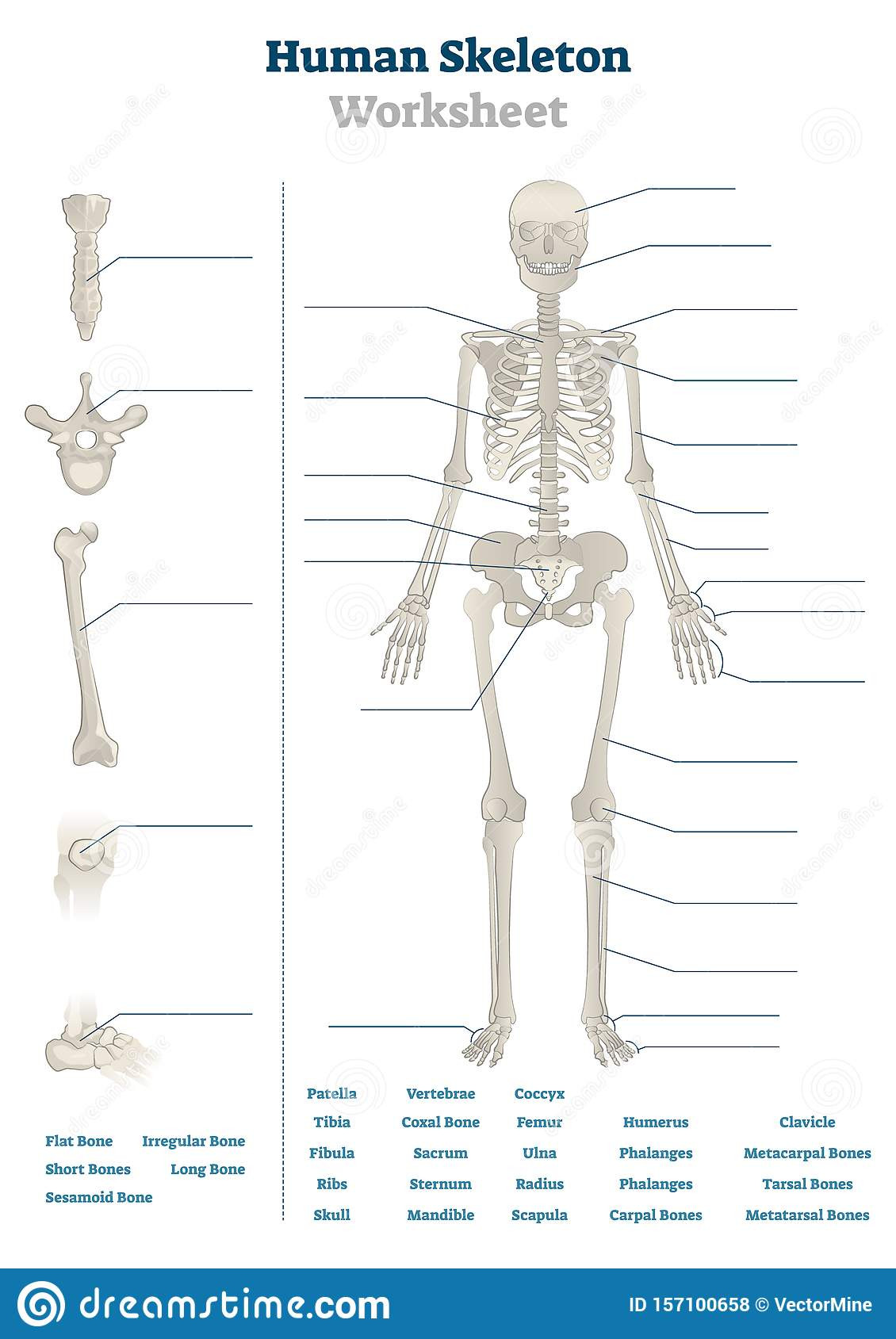Human Skeleton Worksheet Vector Illustration Blank
