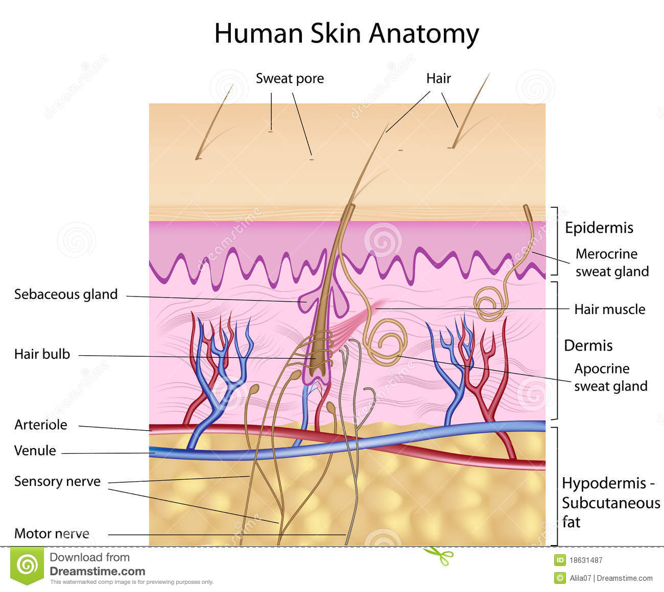 Human Skin Anatomy Labeled Version Stock Vector