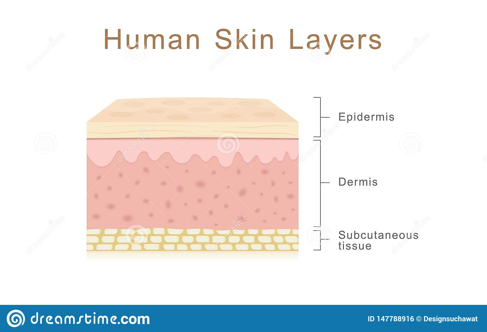 Human Skin Layers Stock Illustration Illustration Of Face