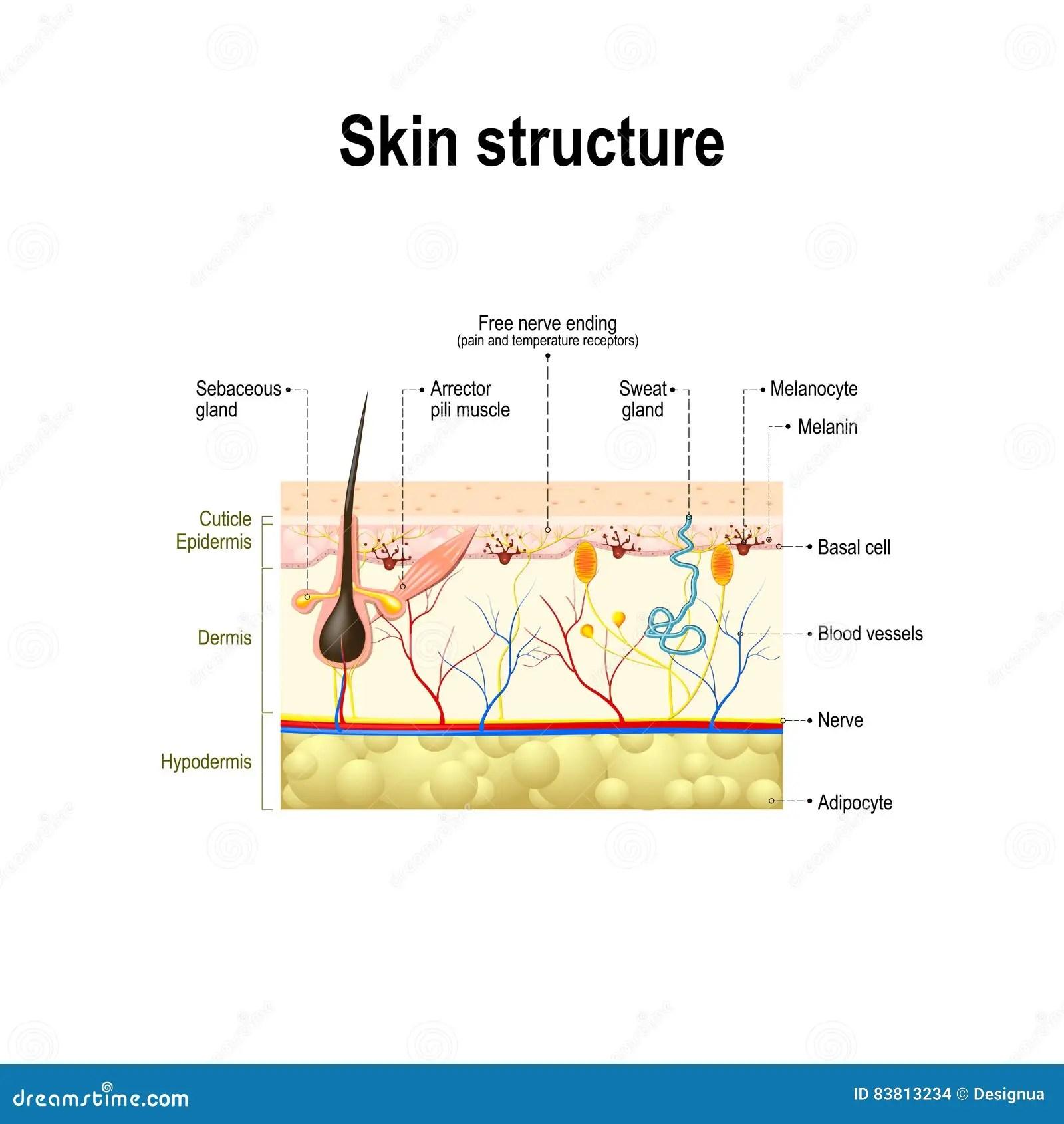 Human Skin Structure Stock Vector Illustration Of Basal