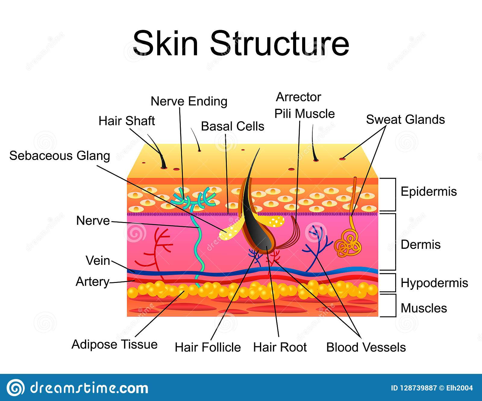 The Structure Of The Sensory Neuron Infographics Vector