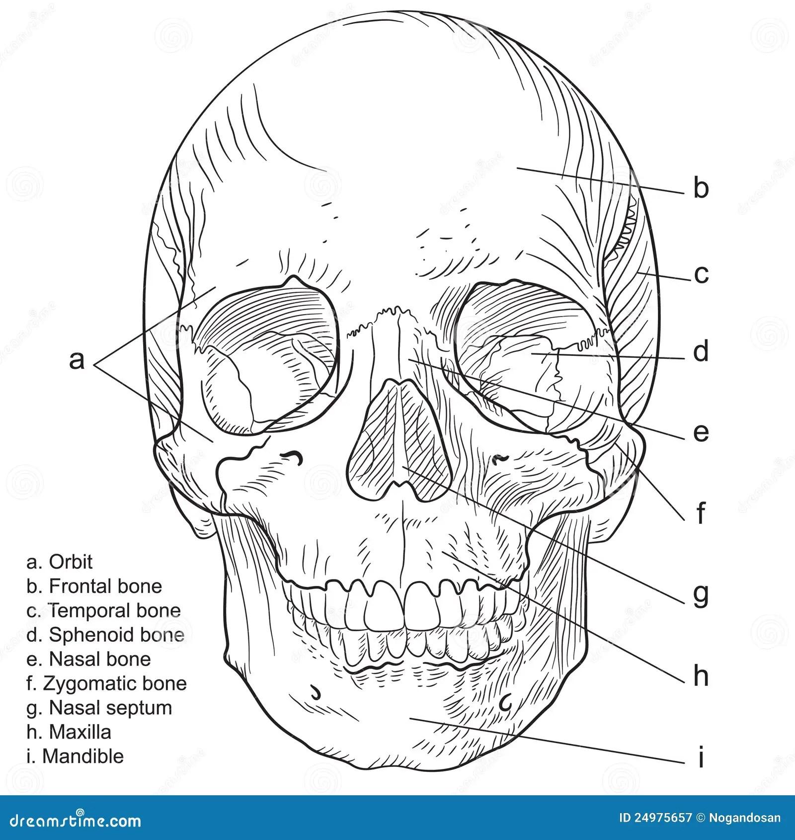 Human Skull Frontal Vector Stock Illustration