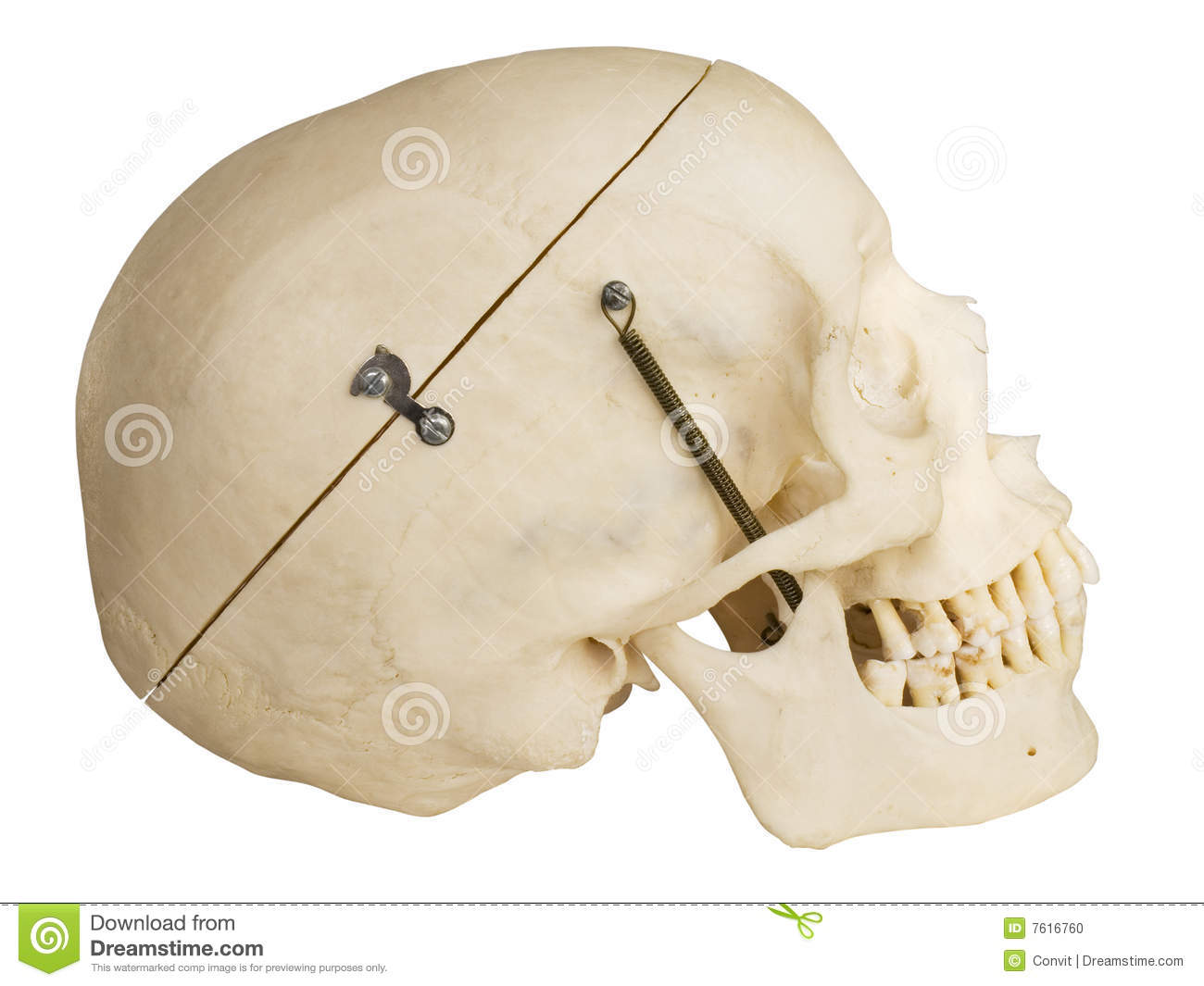 Human Skull Side View With Clipping Path Stock Photo
