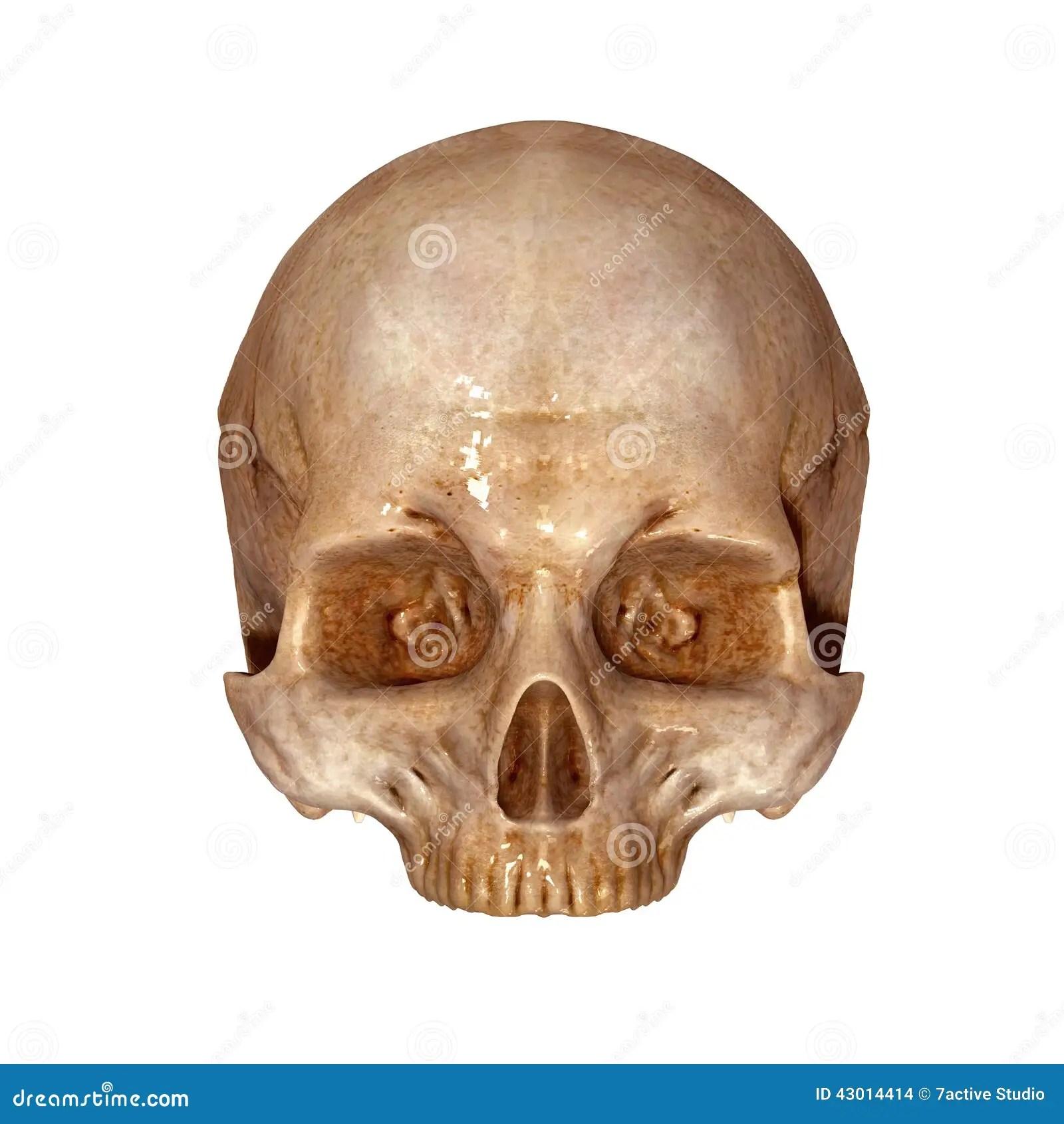 Human Skull Upper Part Stock Illustration Illustration Of