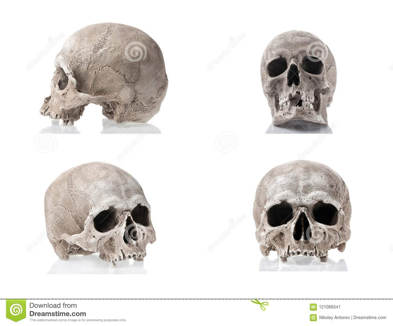 Human Skulls Isolated On White Background With Reflections