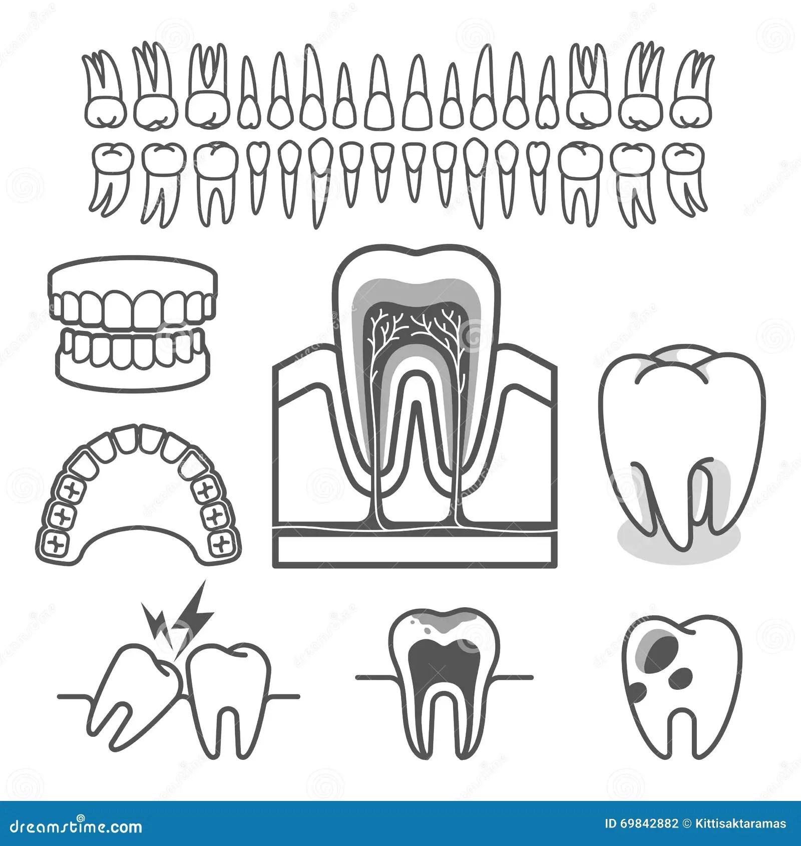 Human Tooth Anatomy Vector Stock Vector