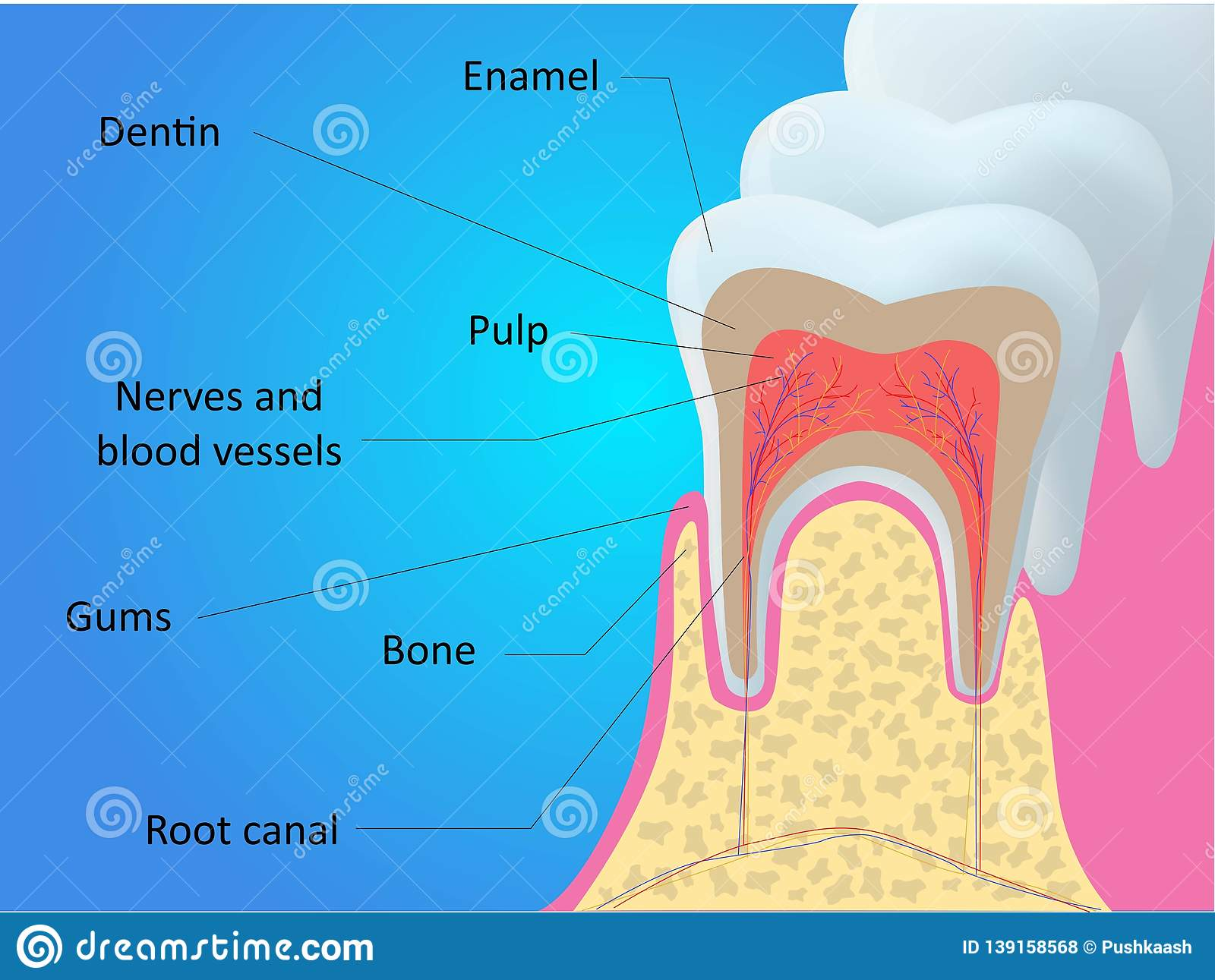 Tooth Anatomy Vector Dental Infographics Medical Banner