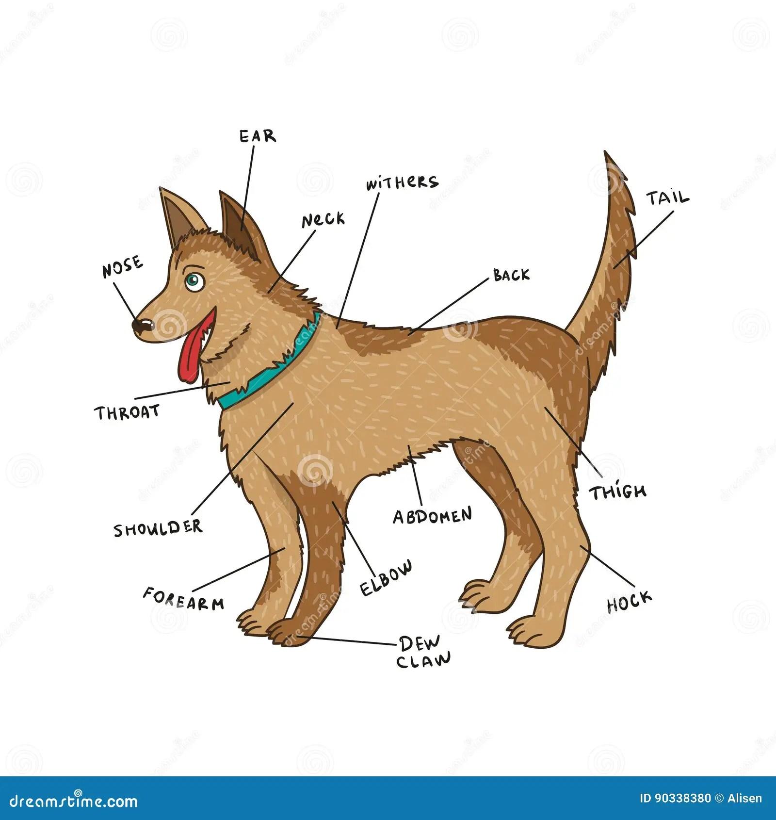 Hundexternalanatomie Welpenteile Auf Englisch Vektor