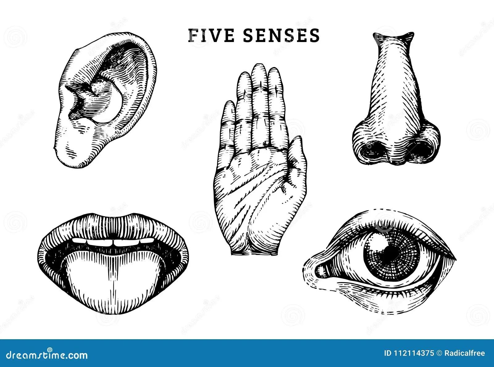 Human Sense Organs The Five Senses Of The Human Body