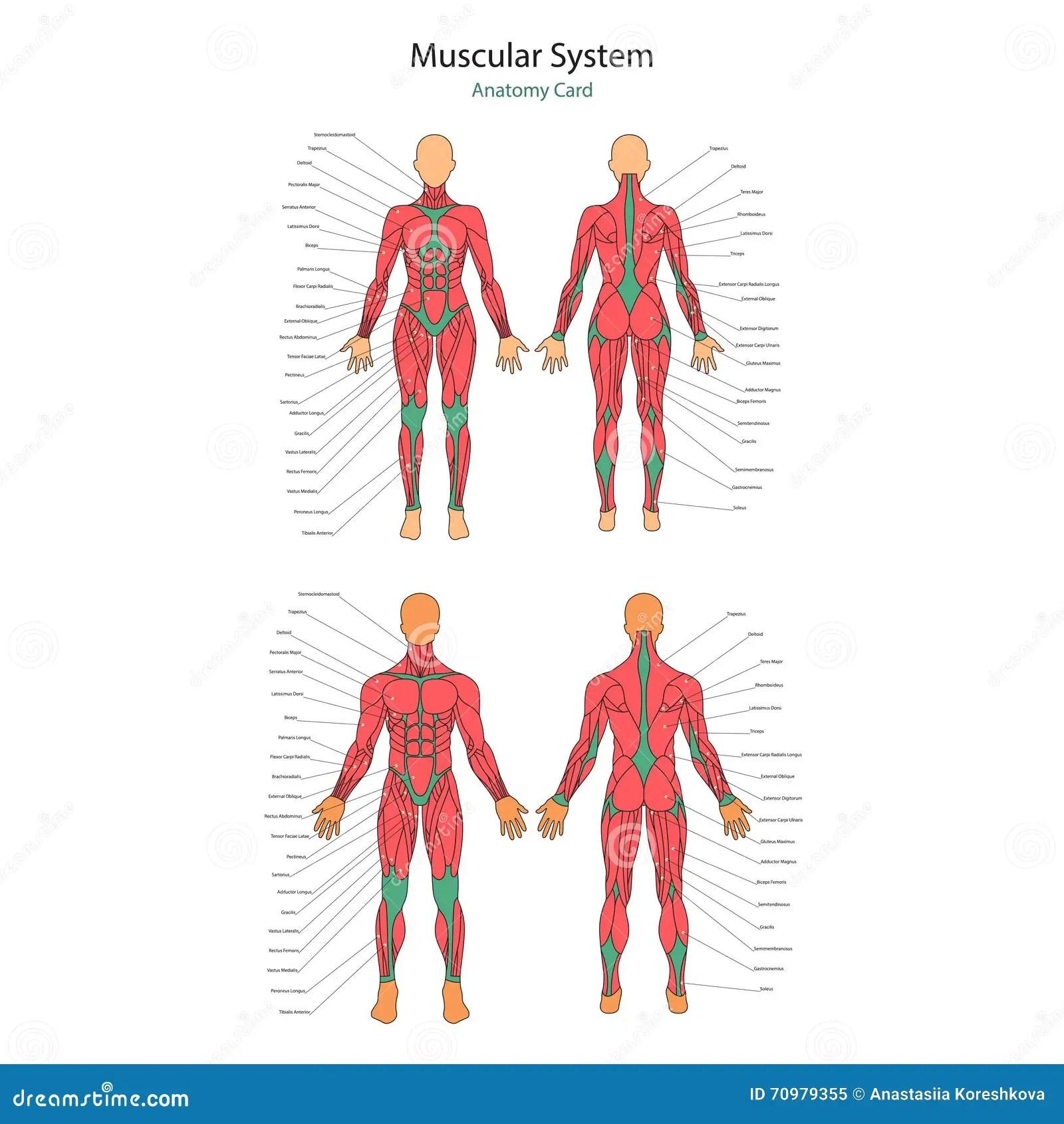 Illustratie Van Menselijke Spieren Vrouwelijk En Mannelijk