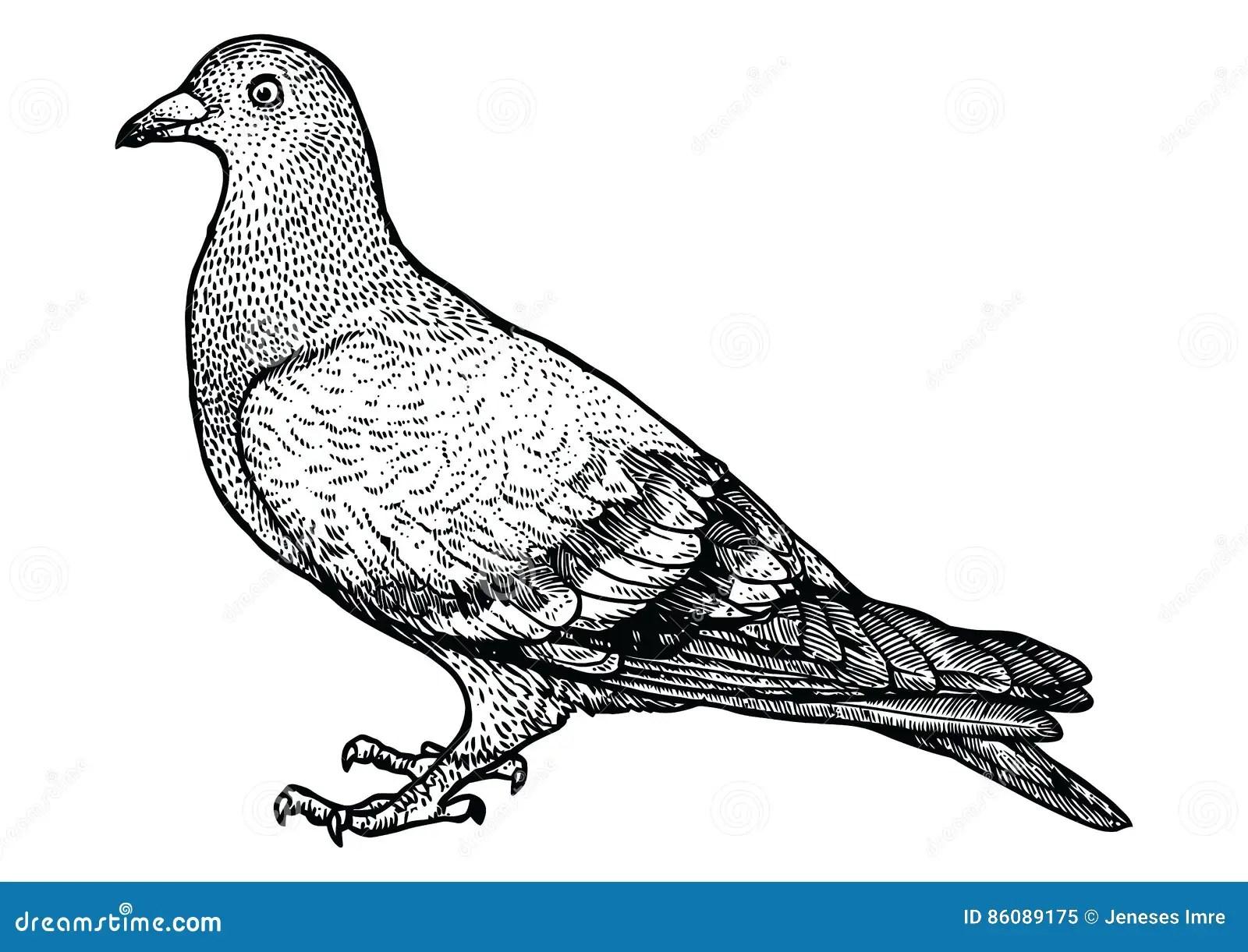 Illustration De Pigeon Dessin Gravure Schema Realiste