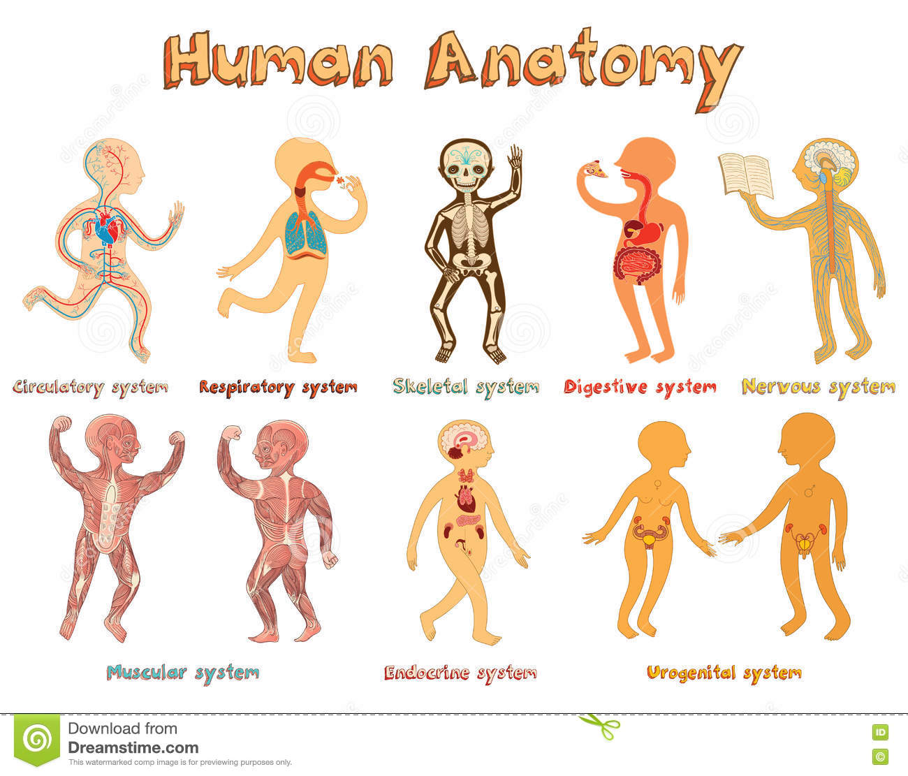 Illustration Of Human Anatomy Systems Of Organs For Kids