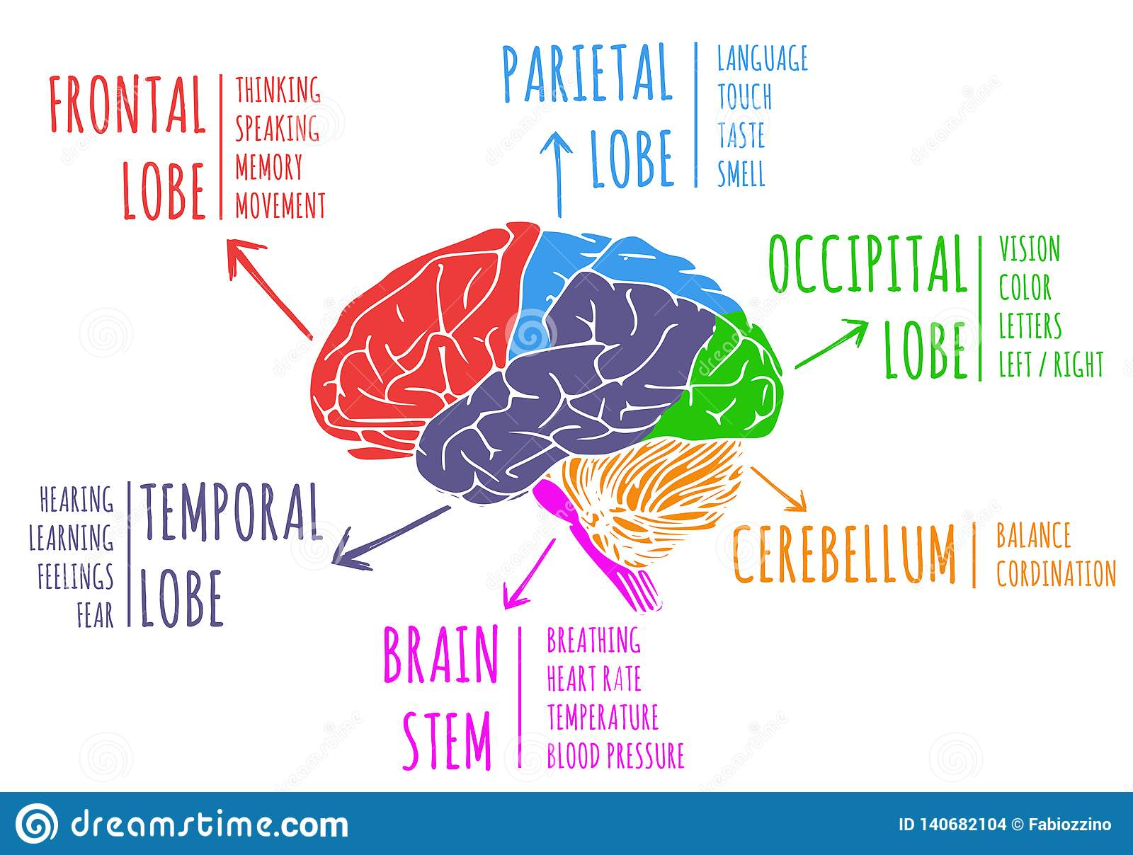 Illustration Of Human S Brain Functions And Anatomy Stock