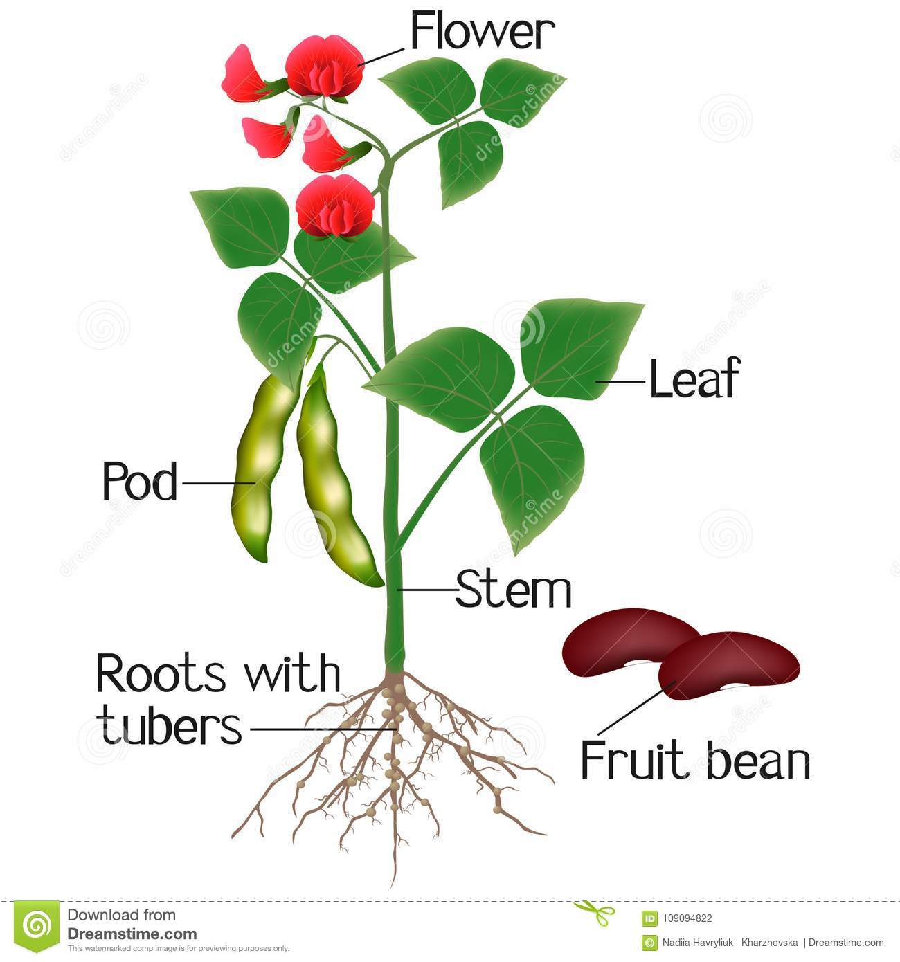 An Illustration Showing Parts Of A Bean Plant Stock