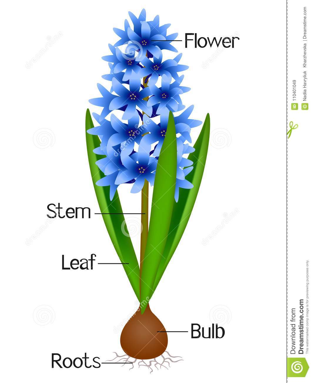 An Illustration Showing Parts Of A Hyacinth Plant Stock
