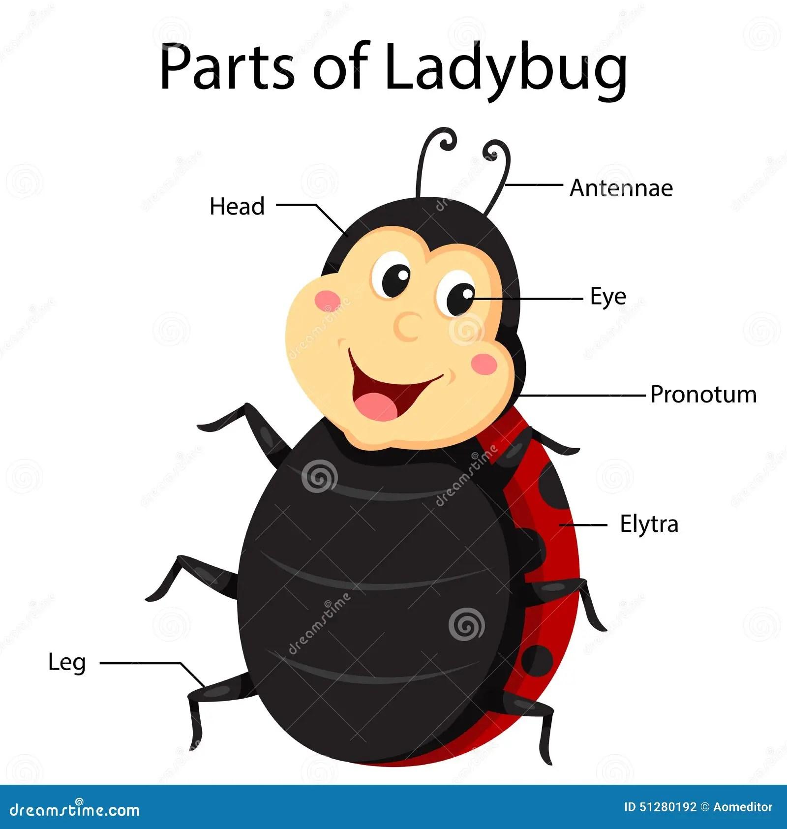 Illustrator Parts Of Ladybug Stock Photo
