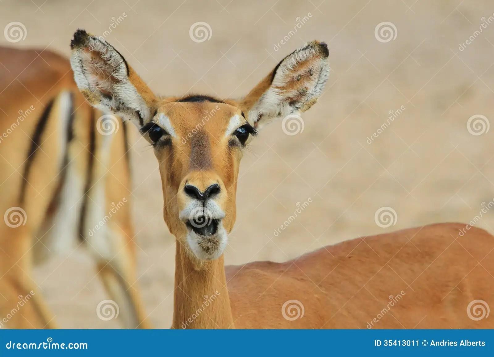 Impala Hintergrund Der Wild Lebenden Tiere Von Afrika Der