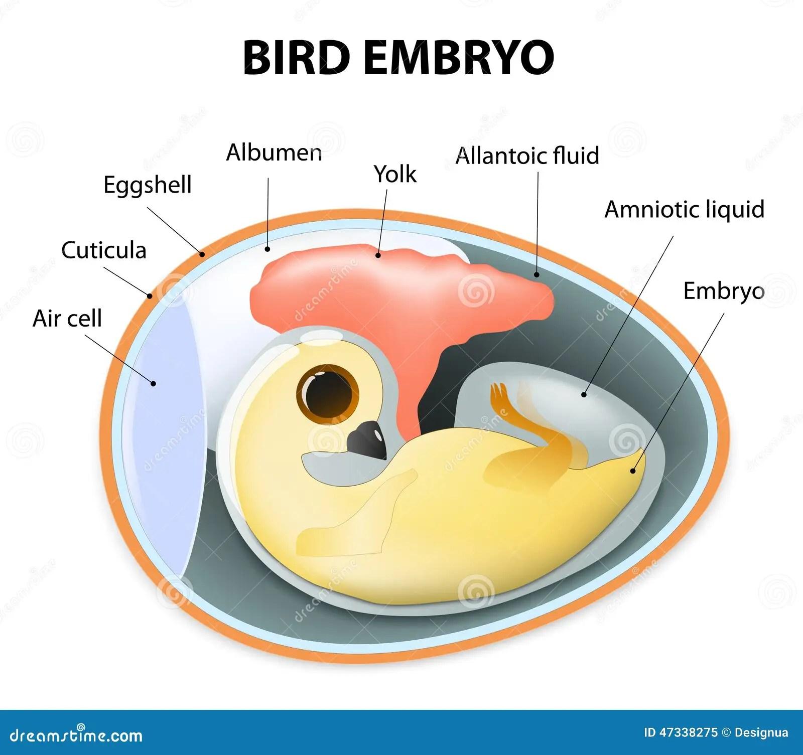 Interior View Of A Birds Egg Stock Vector