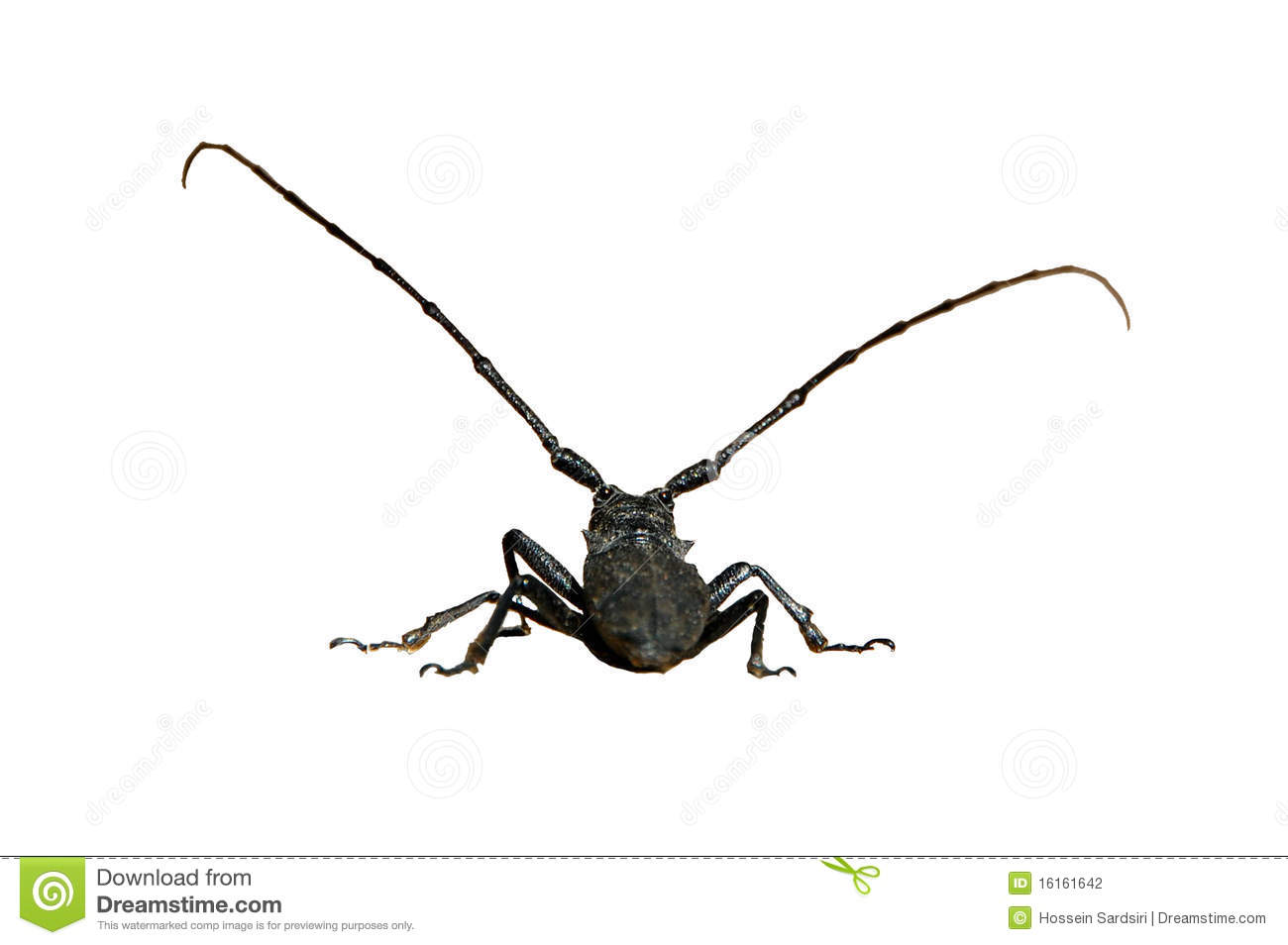 Isolated Big Black Bug Stock Photo Image Of Long Insect