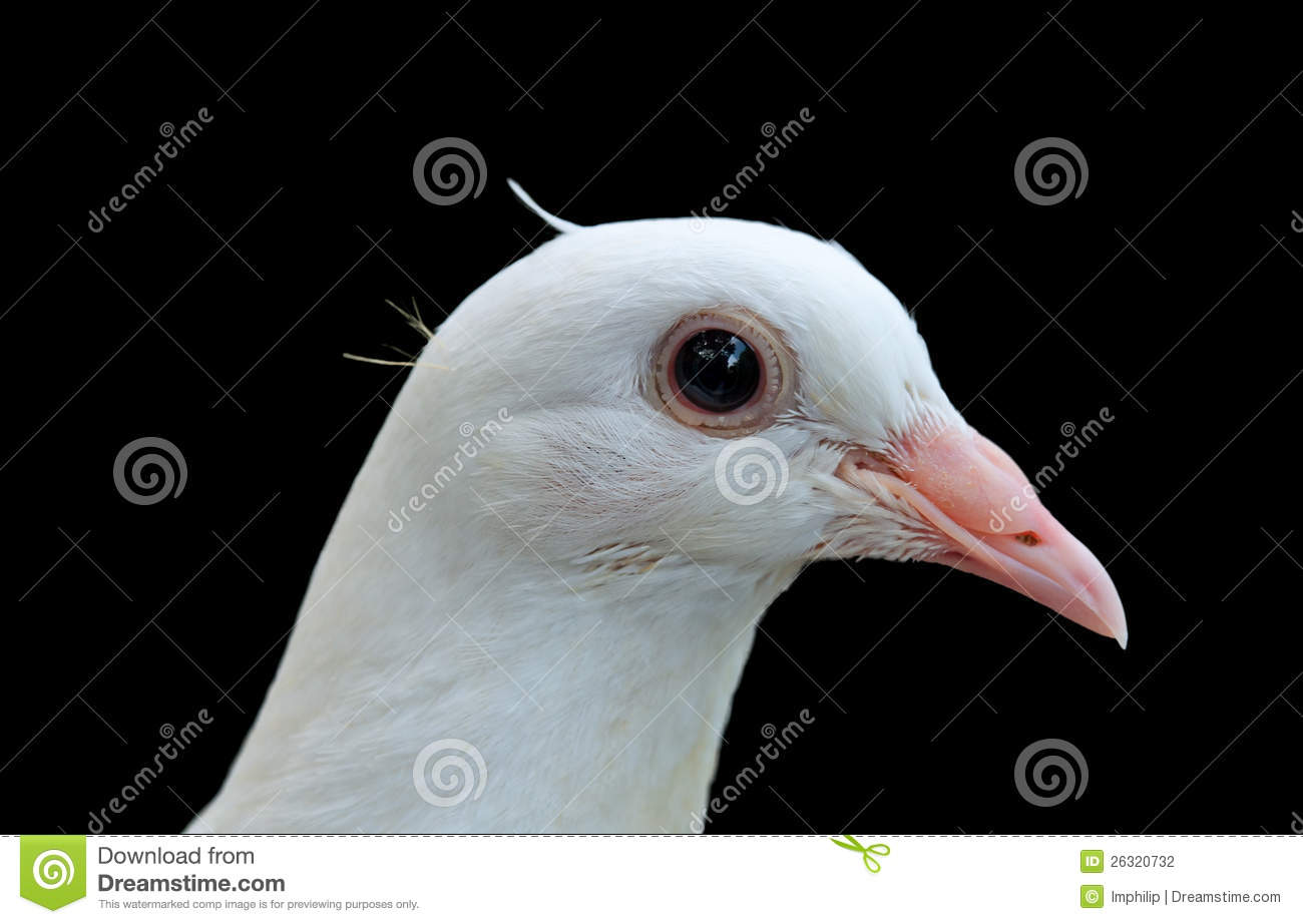 Isolated Dove Head Stock Photography Image 26320732