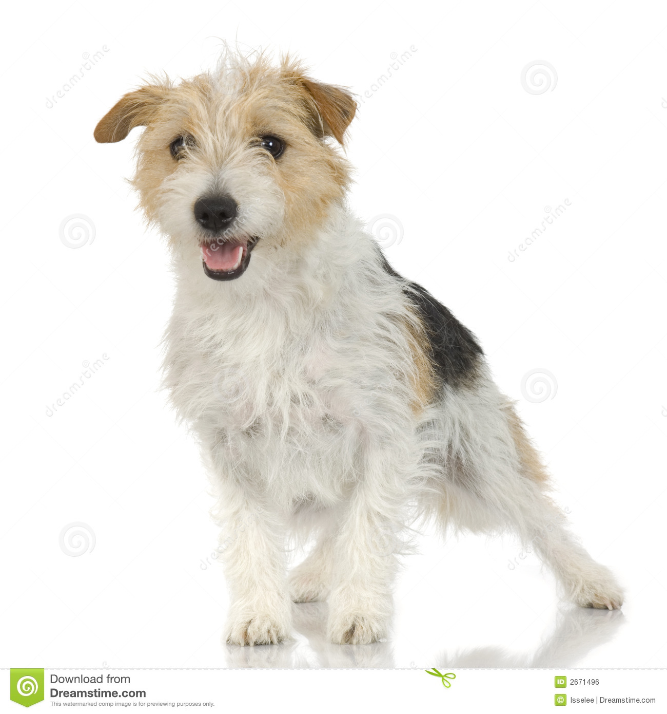 Jack Russell Long Haired Stock Photo Image Of Small