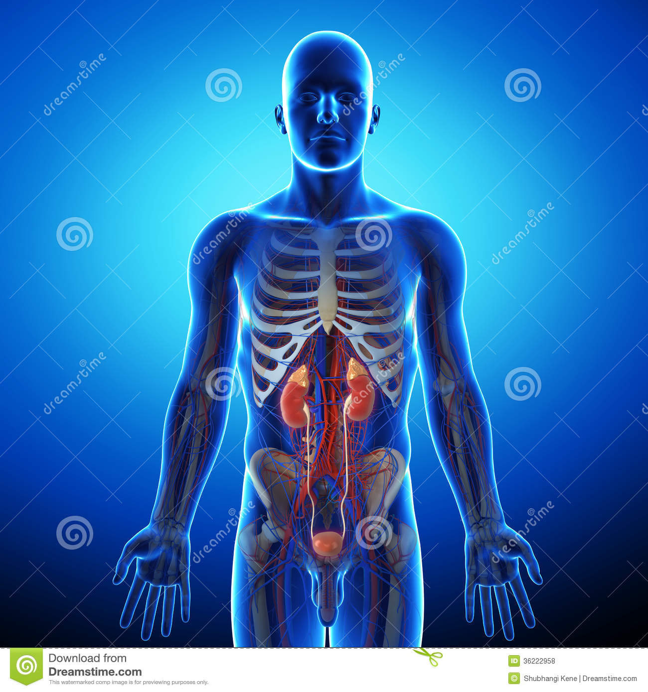 Kidney With Human Urinary System Royalty Free Stock Photos