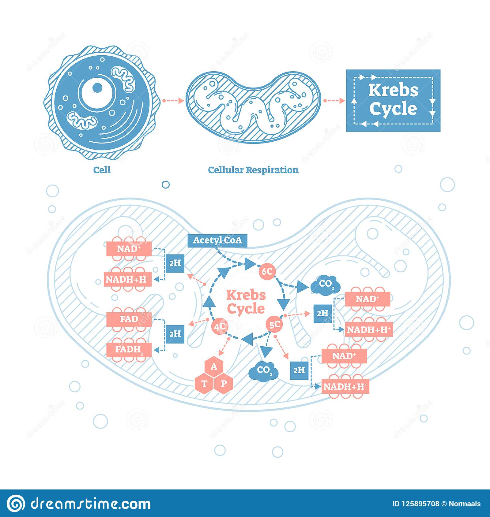 Krebs Cycle Vector Illustration Cellular Respiration