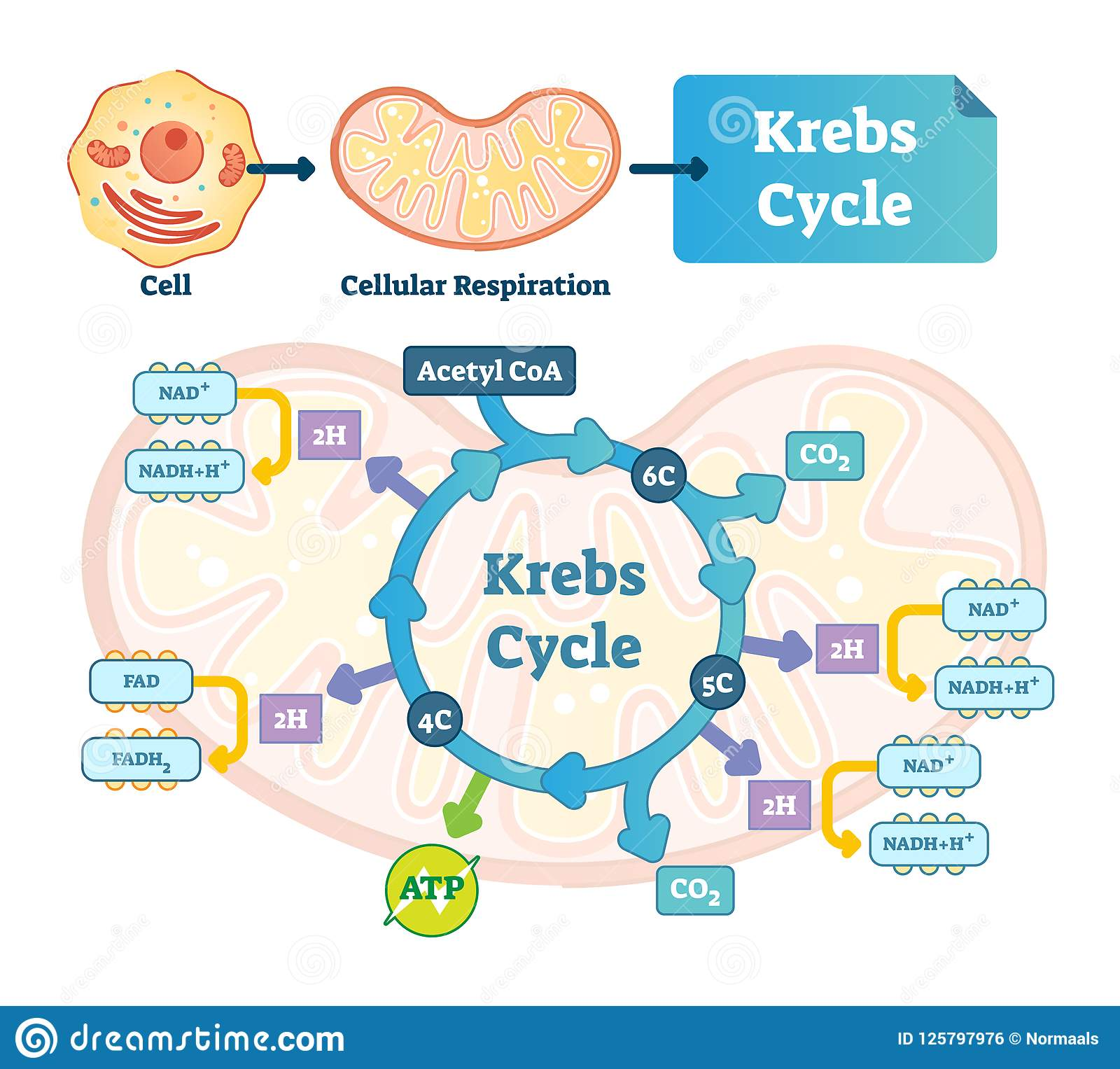 Krebs Cycle Vector Illustration Citric Tricarboxylic Acid