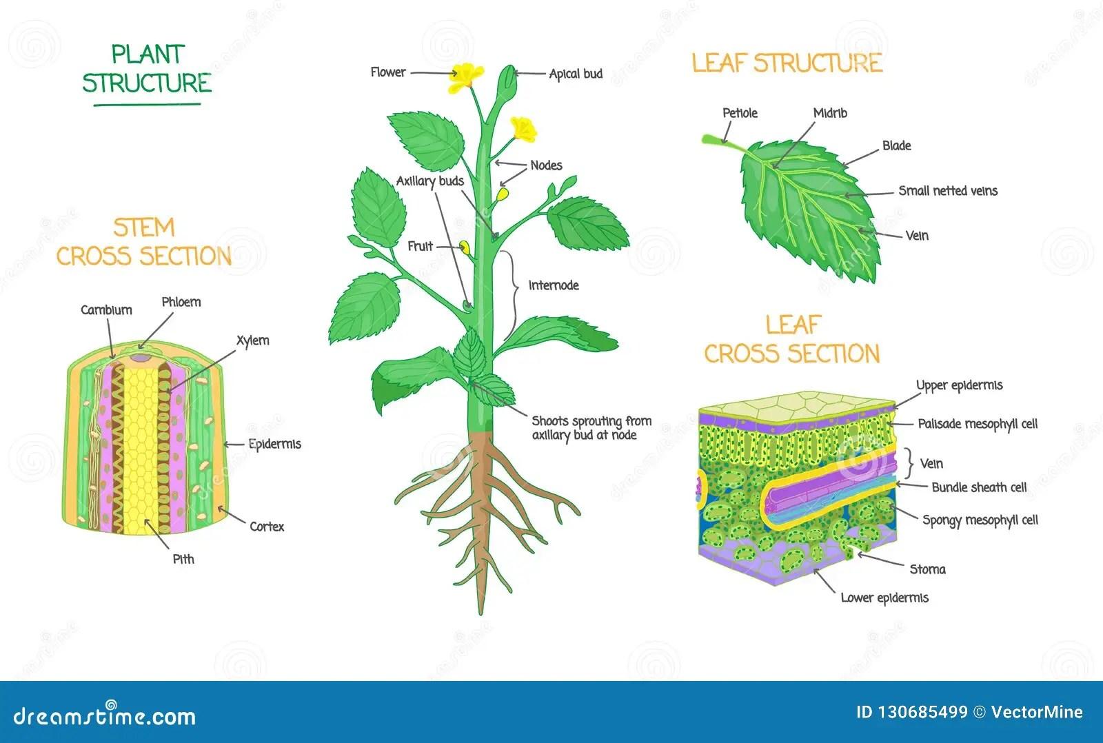 La Biologia Botanica De La Estructura Y Del Corte Transversal De Planta Etiqueto La Coleccion De