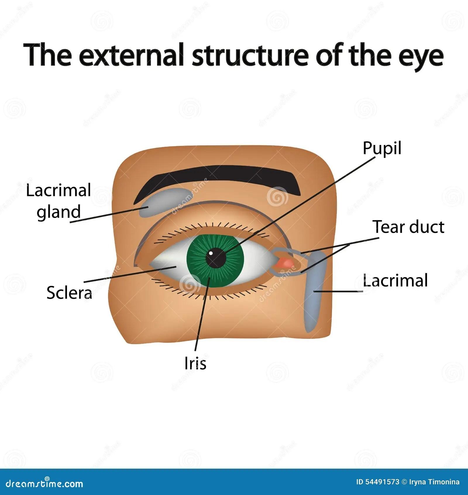 La Struttura Esterna Dell Occhio Vettore Illustrazione
