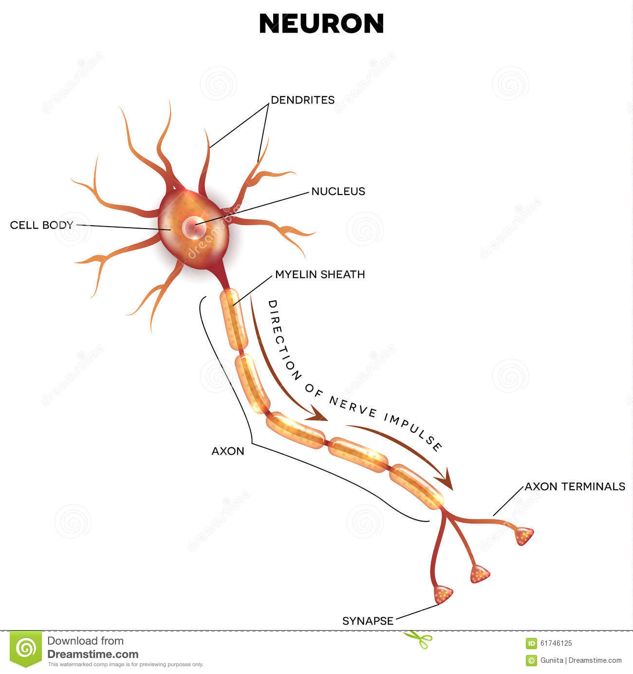 Labeled Diagram Of The Neuron Stock Vector