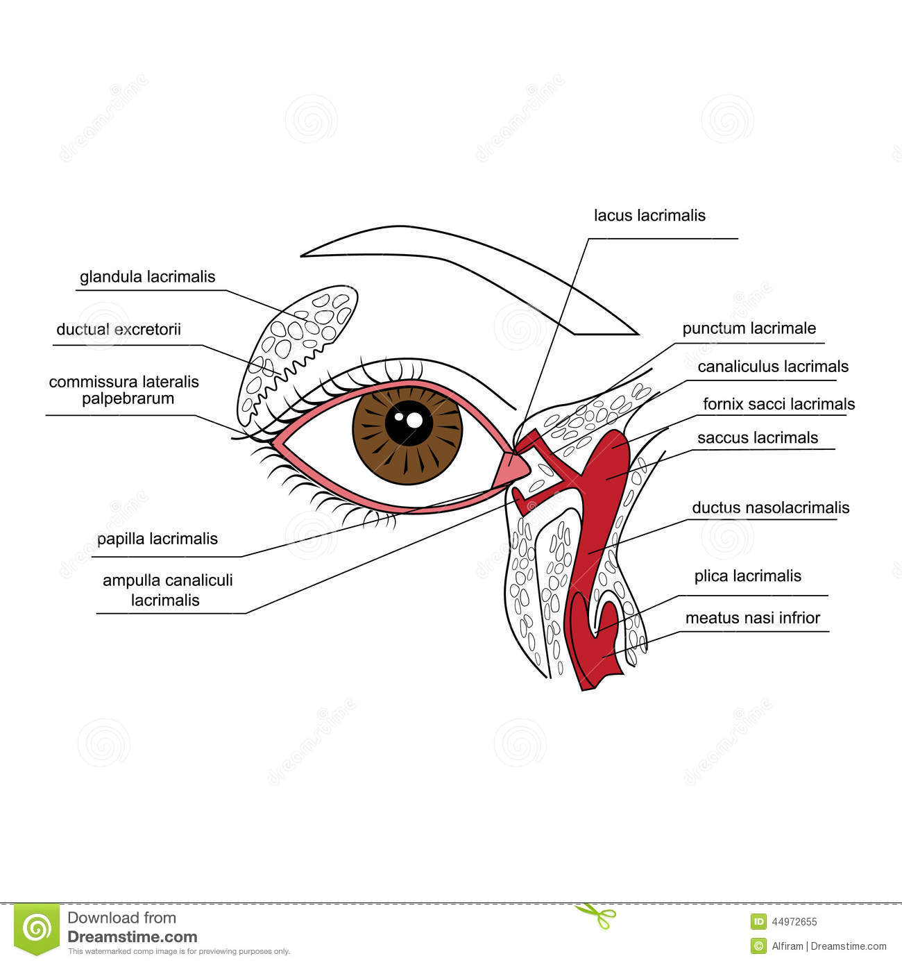 Lacrimal Apparatus Stock Vector