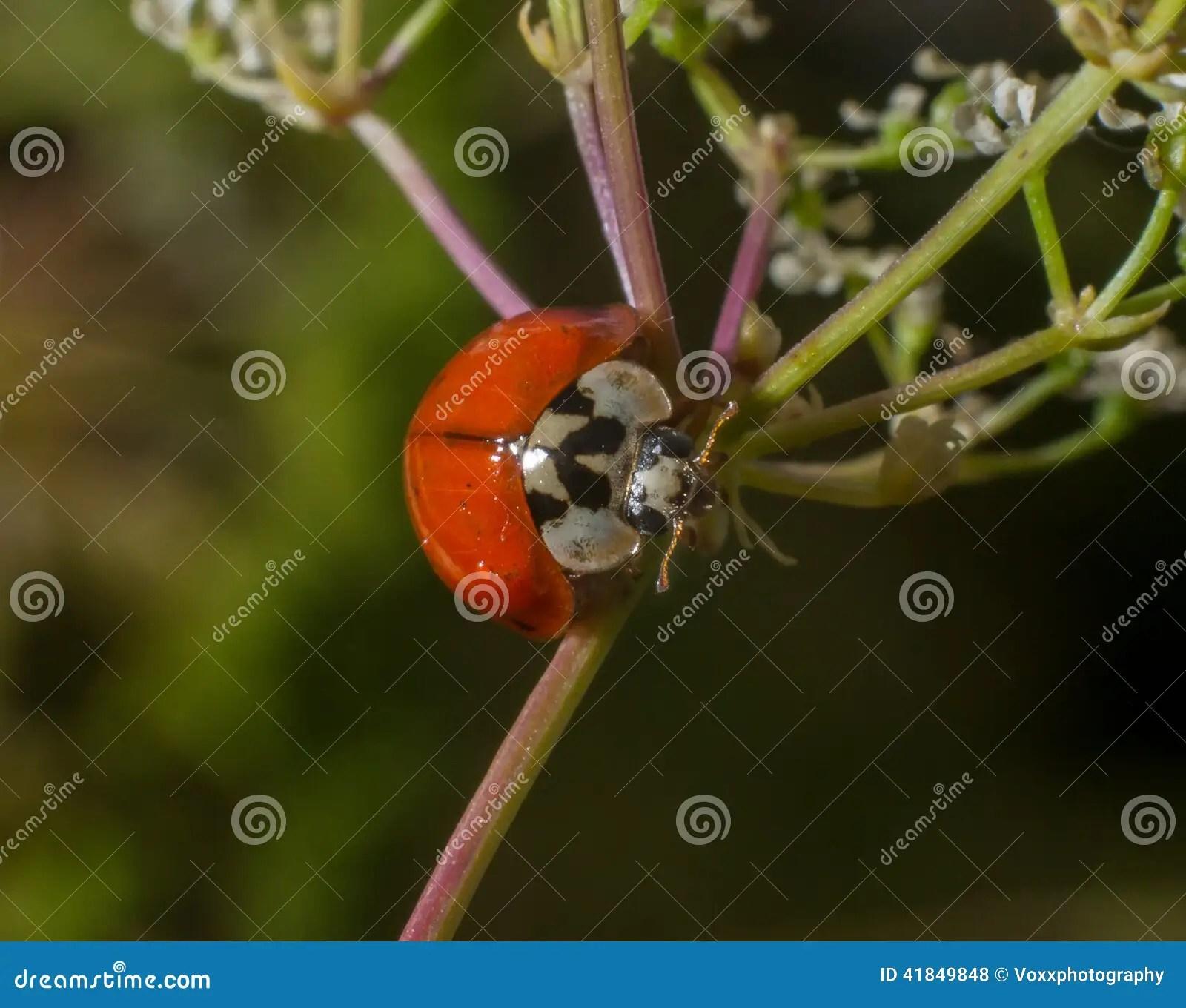 Ladybird Ladybug Stock Photo Image Of Black Ladybird