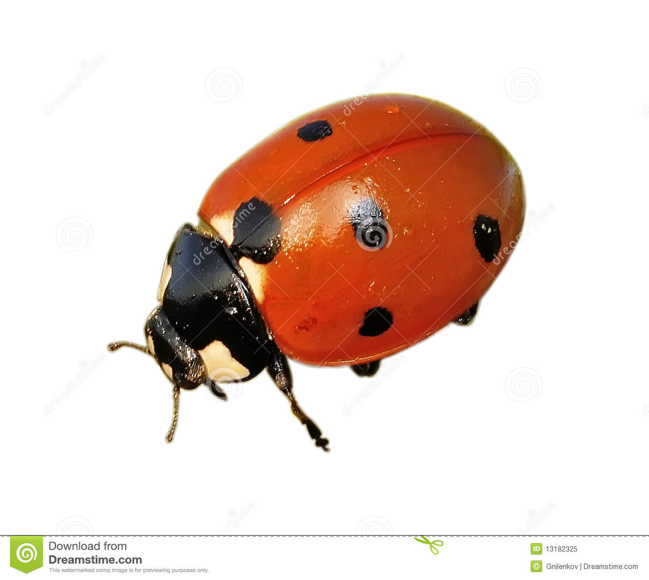 Related Keywords Amp Suggestions For Ladybug Thorax