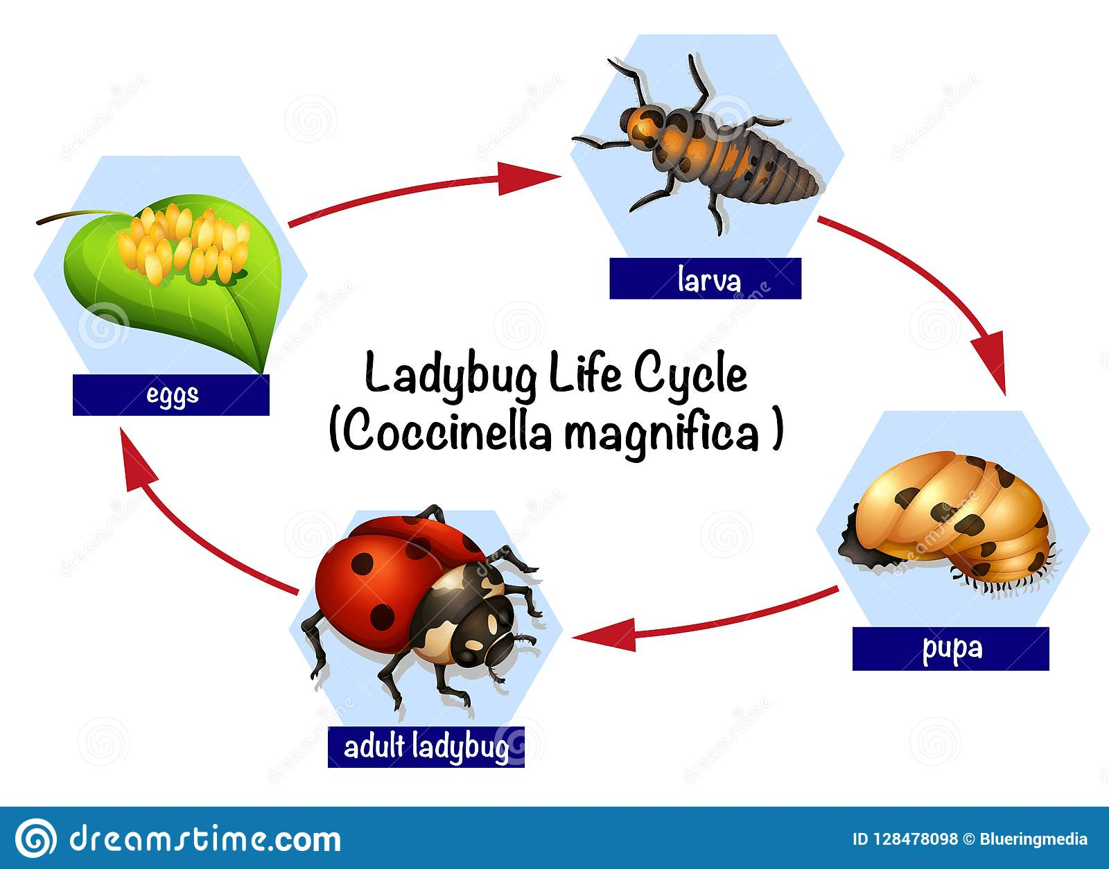 A Ladybug Life Cycle Stock Vector Illustration Of Science