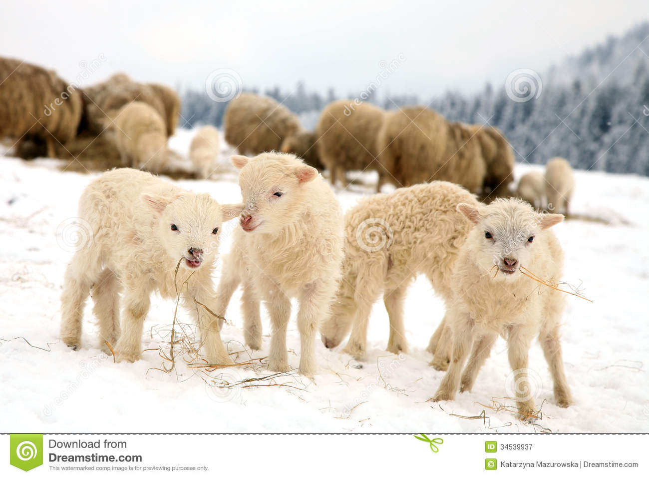 Lambs Stock Image Image Of Eating Flock Grazing Meadow