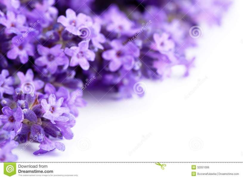 Lavender Flowers stock image  Image of white  fragrant   32051099 Download Lavender Flowers stock image  Image of white  fragrant   32051099