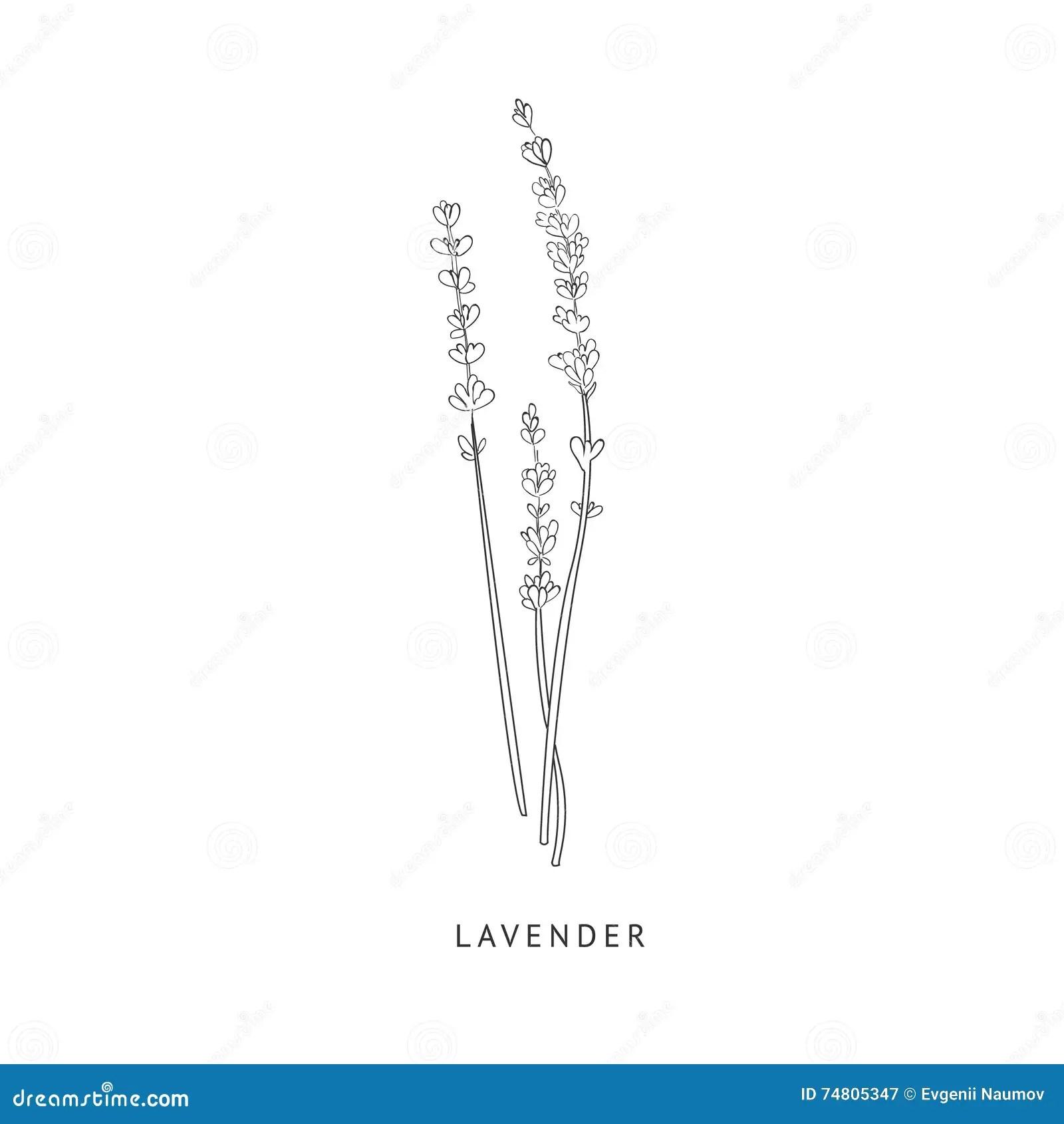 Lavender Hand Drawn Realistic Sketch Stock Vector