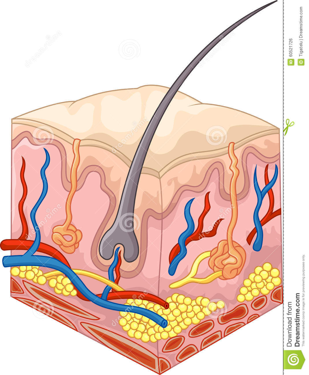 The Layers Of Skin And Pores Stock Vector