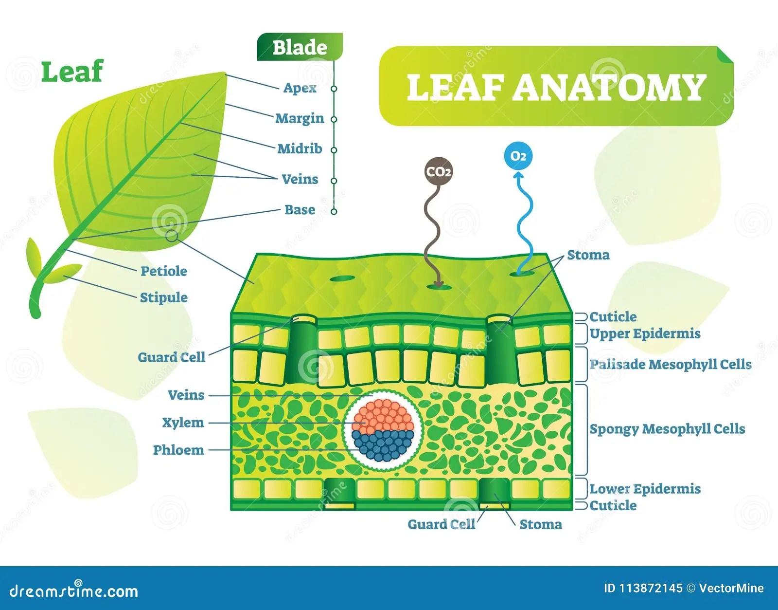 Leaf Anatomy Vector Illustration Diagram Biological Macro