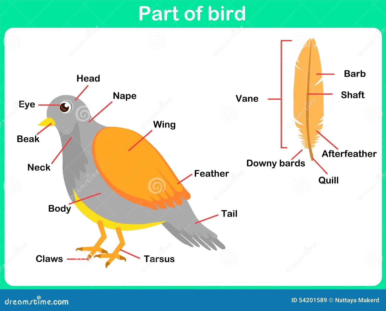 Lehnende Teile Des Vogels Fur Kinder