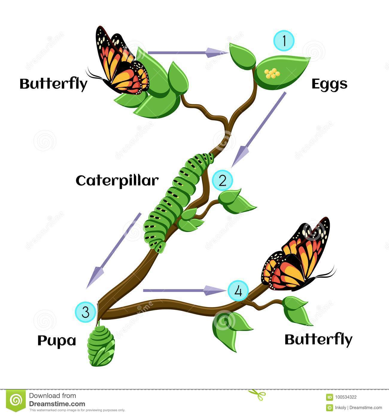 Life Cycle Of Butterfly Stock Vector Illustration Of