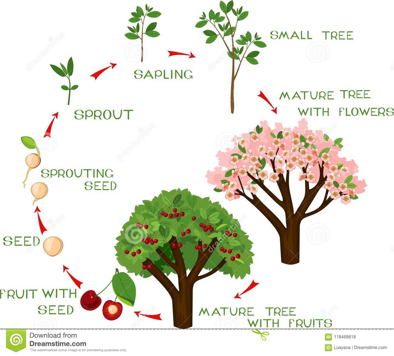 Life Cycle Of Cherry Tree With Captions Stock Vector