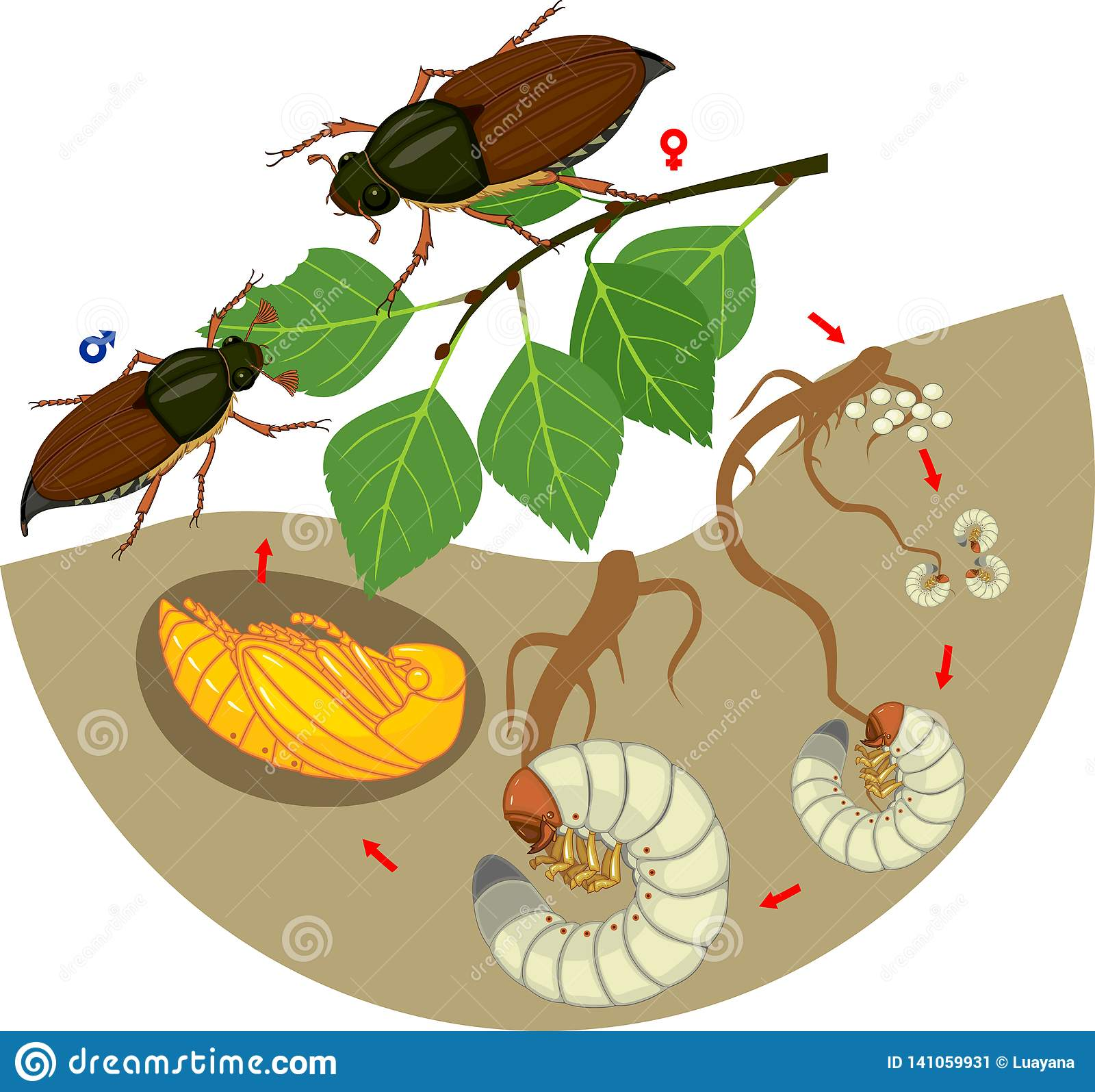 Life Cycle Of Cockchafer Sequence Of Stages Of