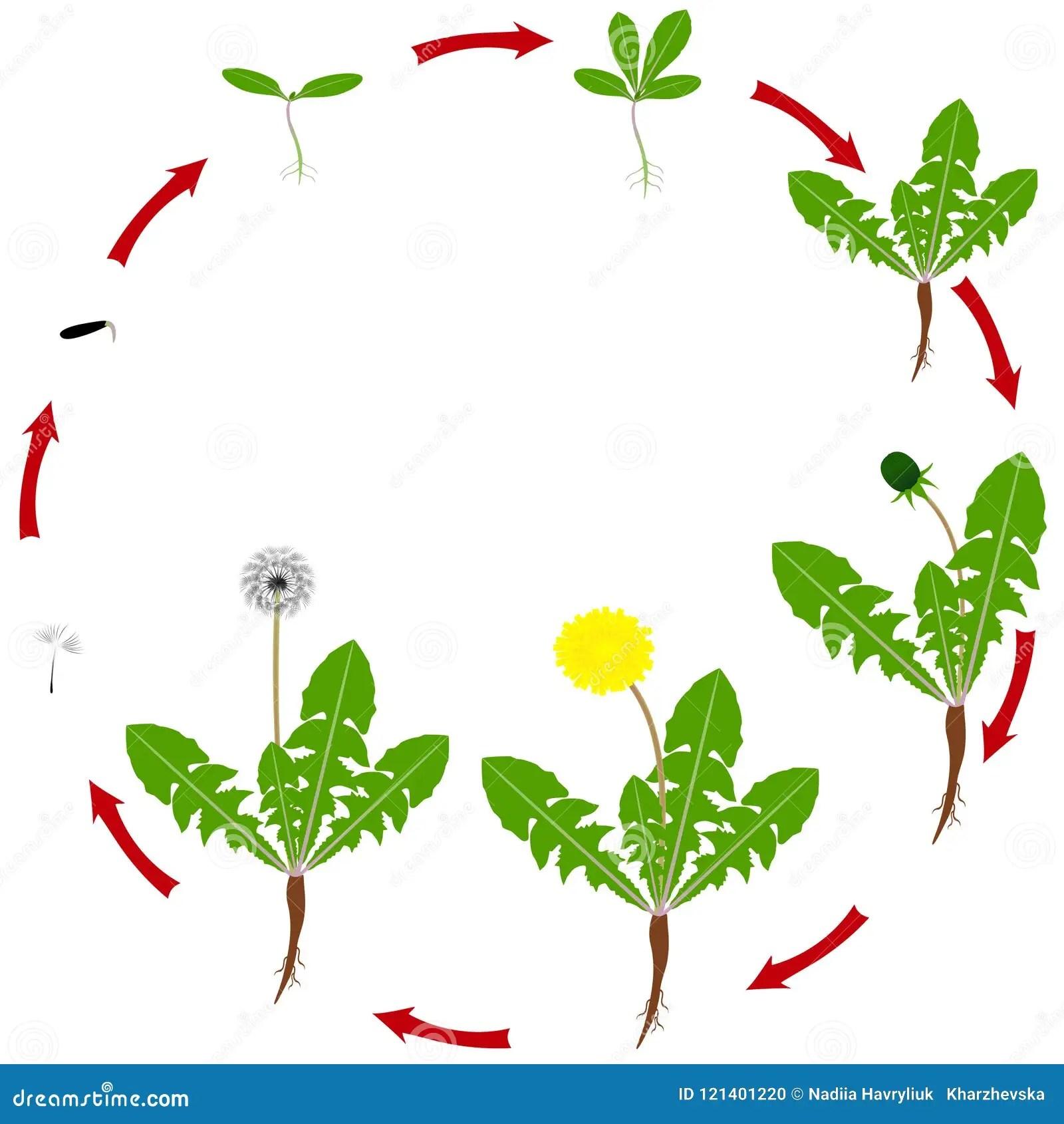 Life Cycle Of Dandelion Cartoon Vector