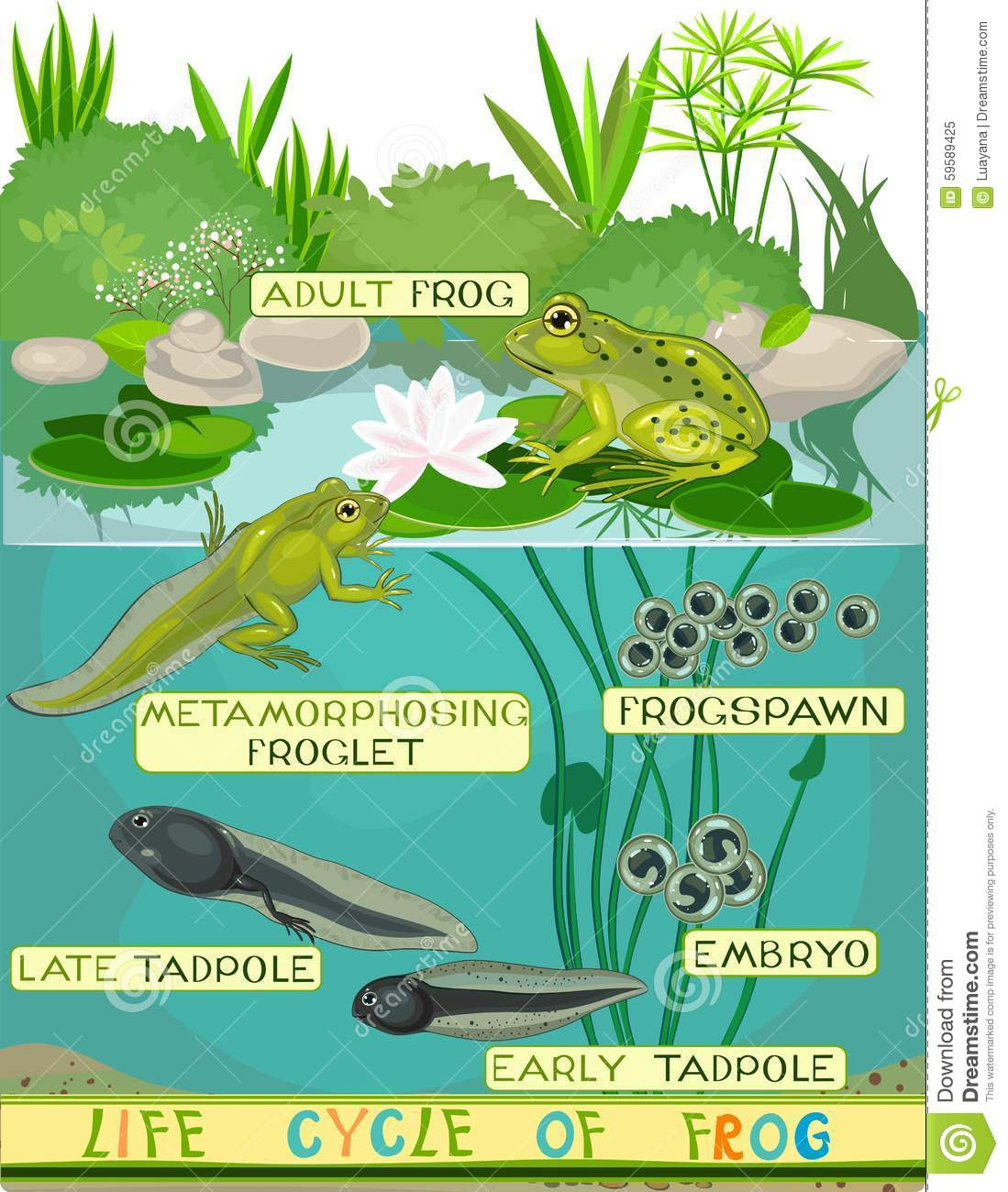 Life Cycle Of Frog Stock Vector Illustration Of Animal