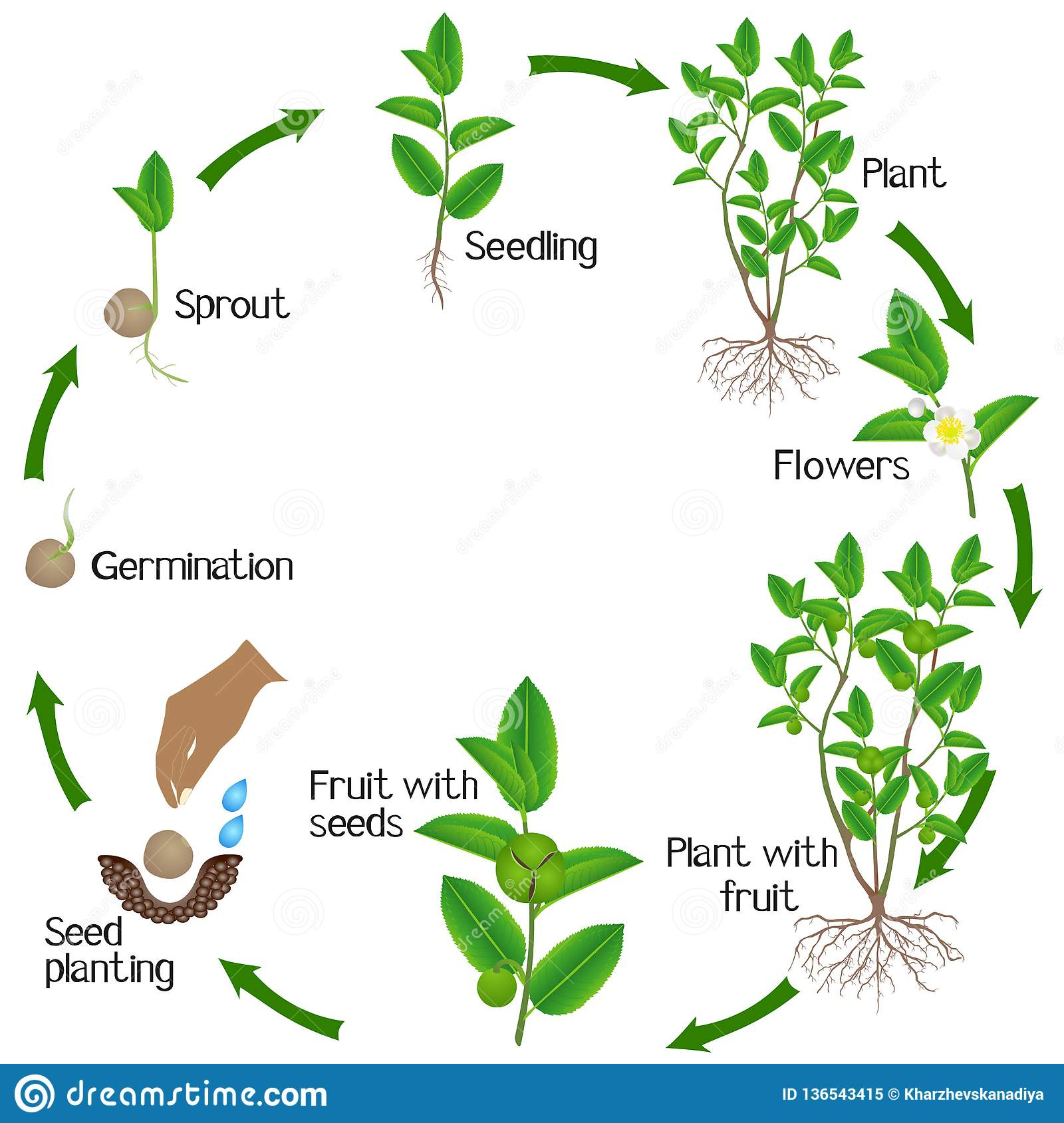 Life Cycle Of Green Tea Camellia Sinensis Plant On A White